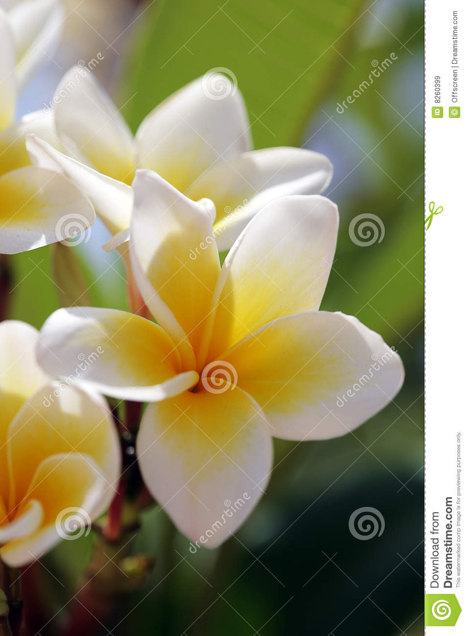 White Tropical Flowers Plumeria Stock Image Image Of Branch