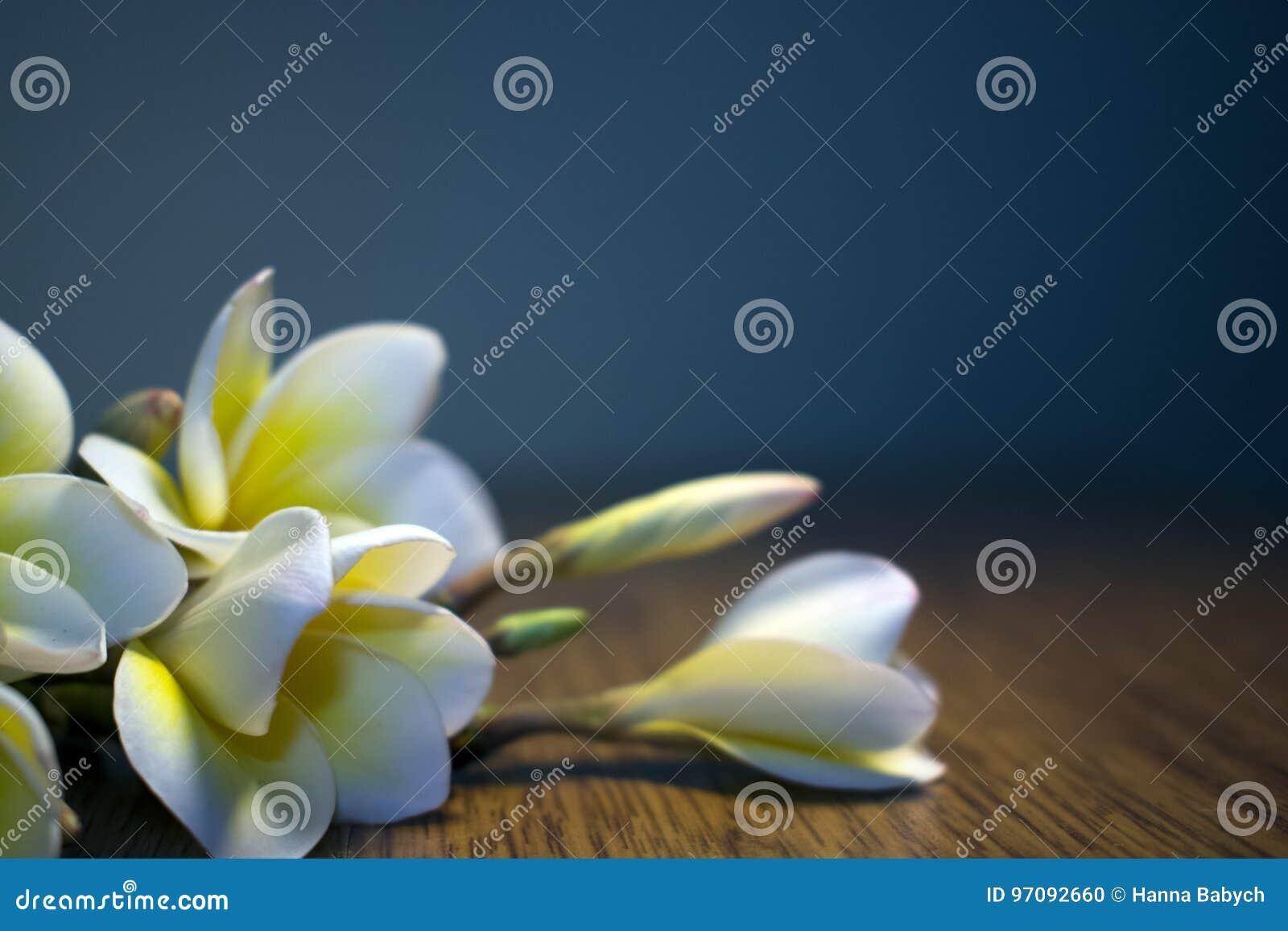 White Tropical Flowers Plumeria On A Dark Background Stock Photo