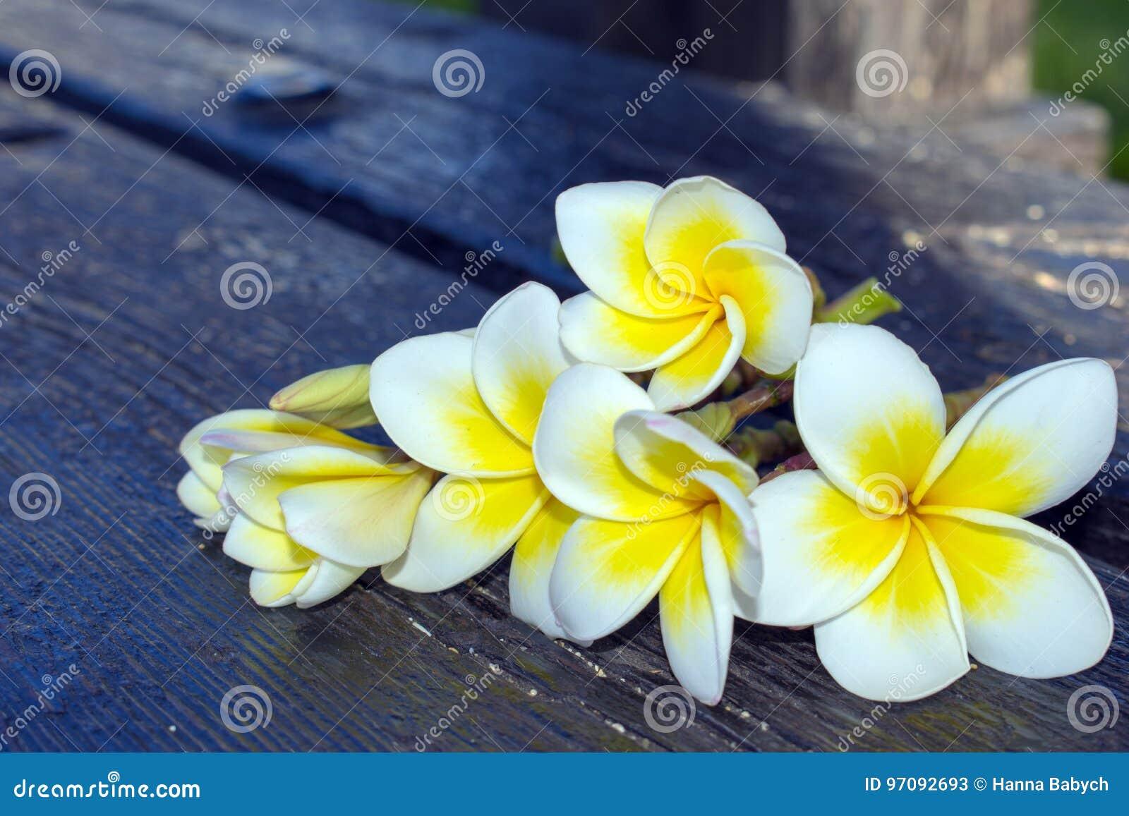 White Tropical Flowers Plumeria On A Dark Background Stock Image