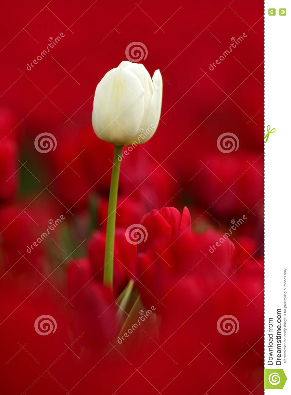 White tulip bloom, red beautiful tulips field in spring time with sunlight, floral background, garden scene, Holland, Netherlands