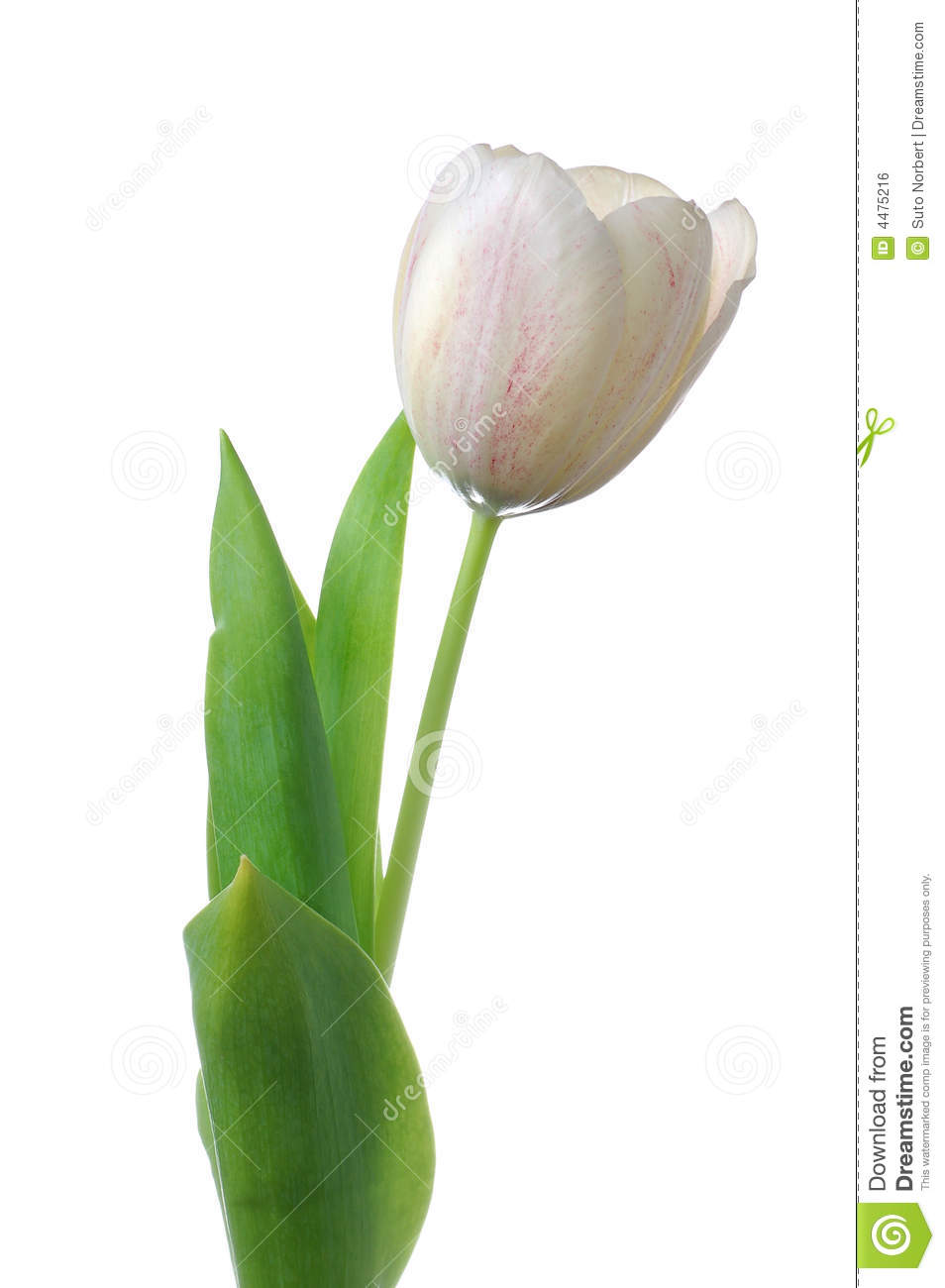 White tulip flower royalty free stock image image 4475216 background flower isolated tulip white dhlflorist Image collections