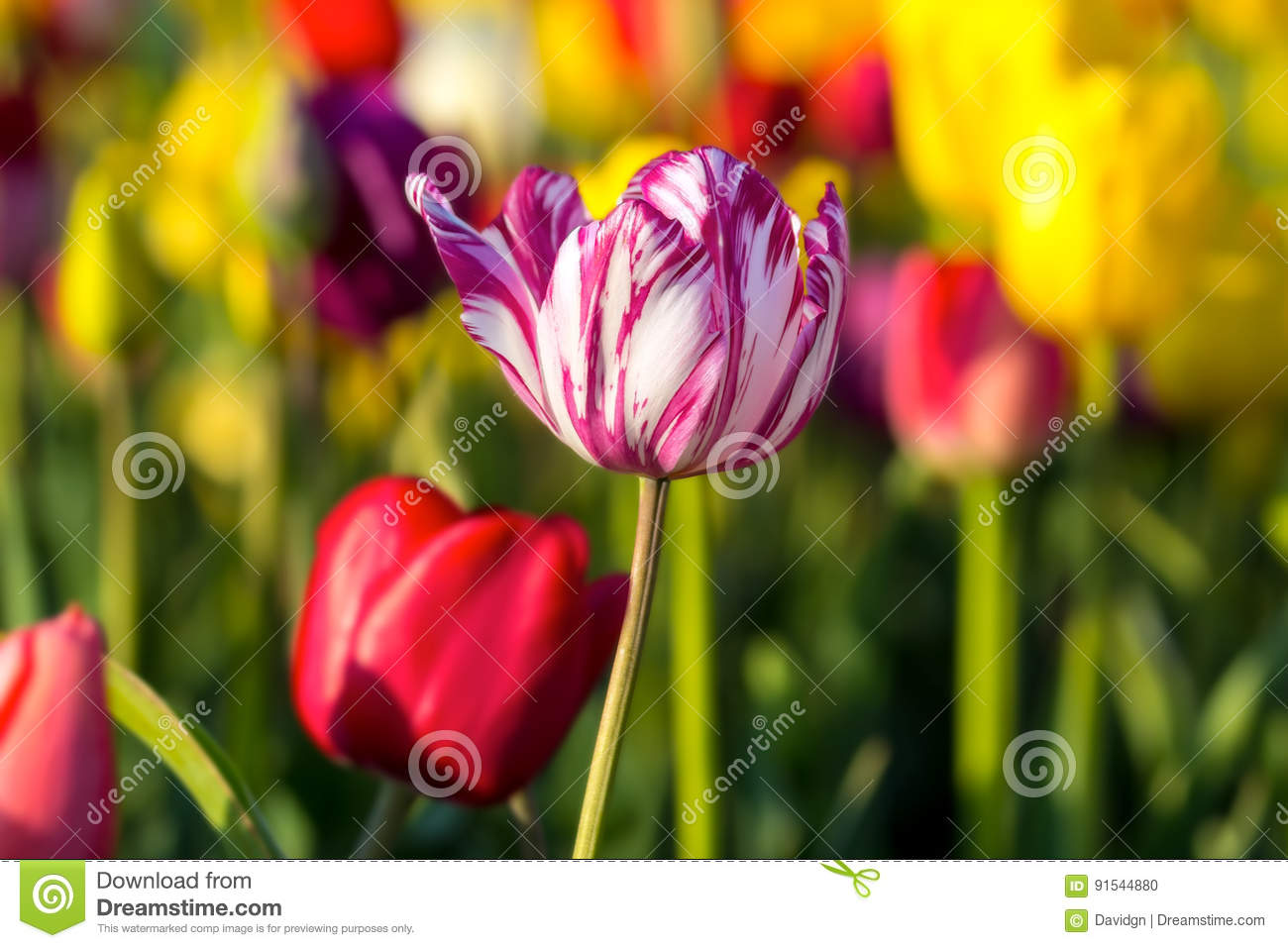 White Tulip Flower With Pink Stripes Stock Photo Image Of Oregon