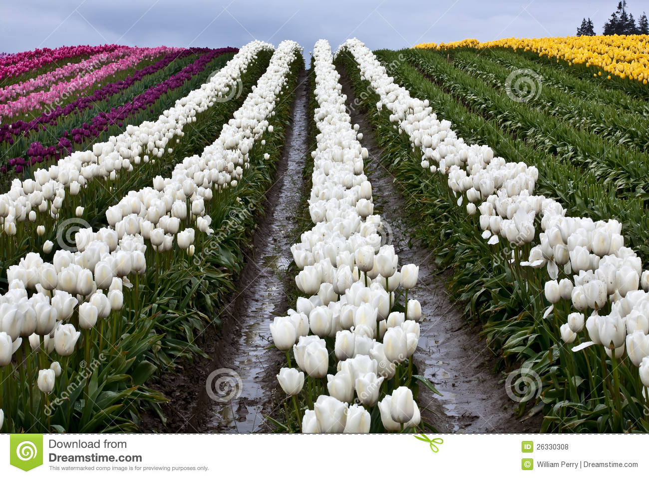 White tulip hills flowers skagit washington royalty free stock farm flowers hill northwest pacific skagit state tulip valley washington white dhlflorist Image collections