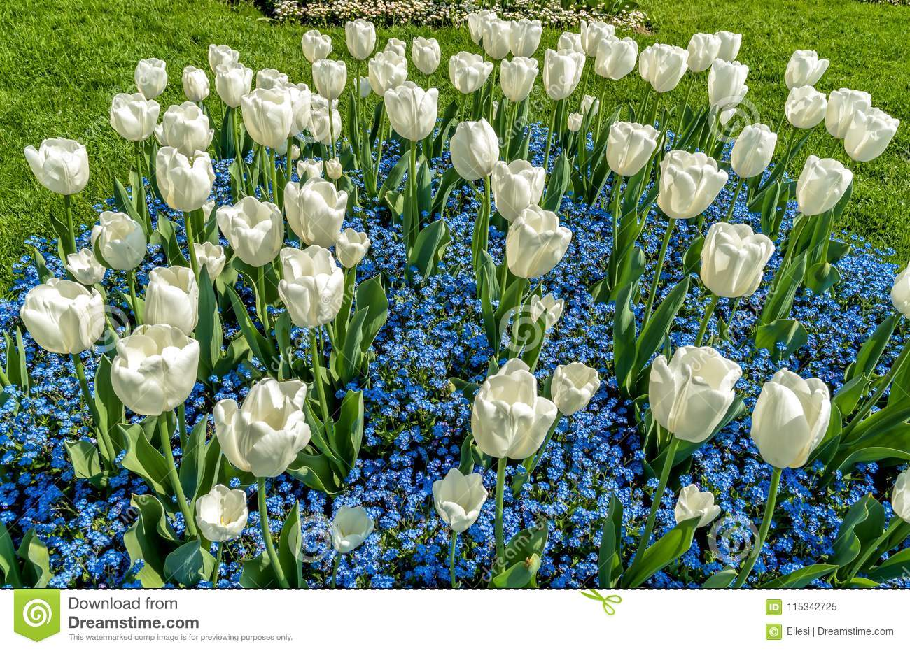 White Tulips With Alpine Forget Me Not Blue Flowers In Spring Time