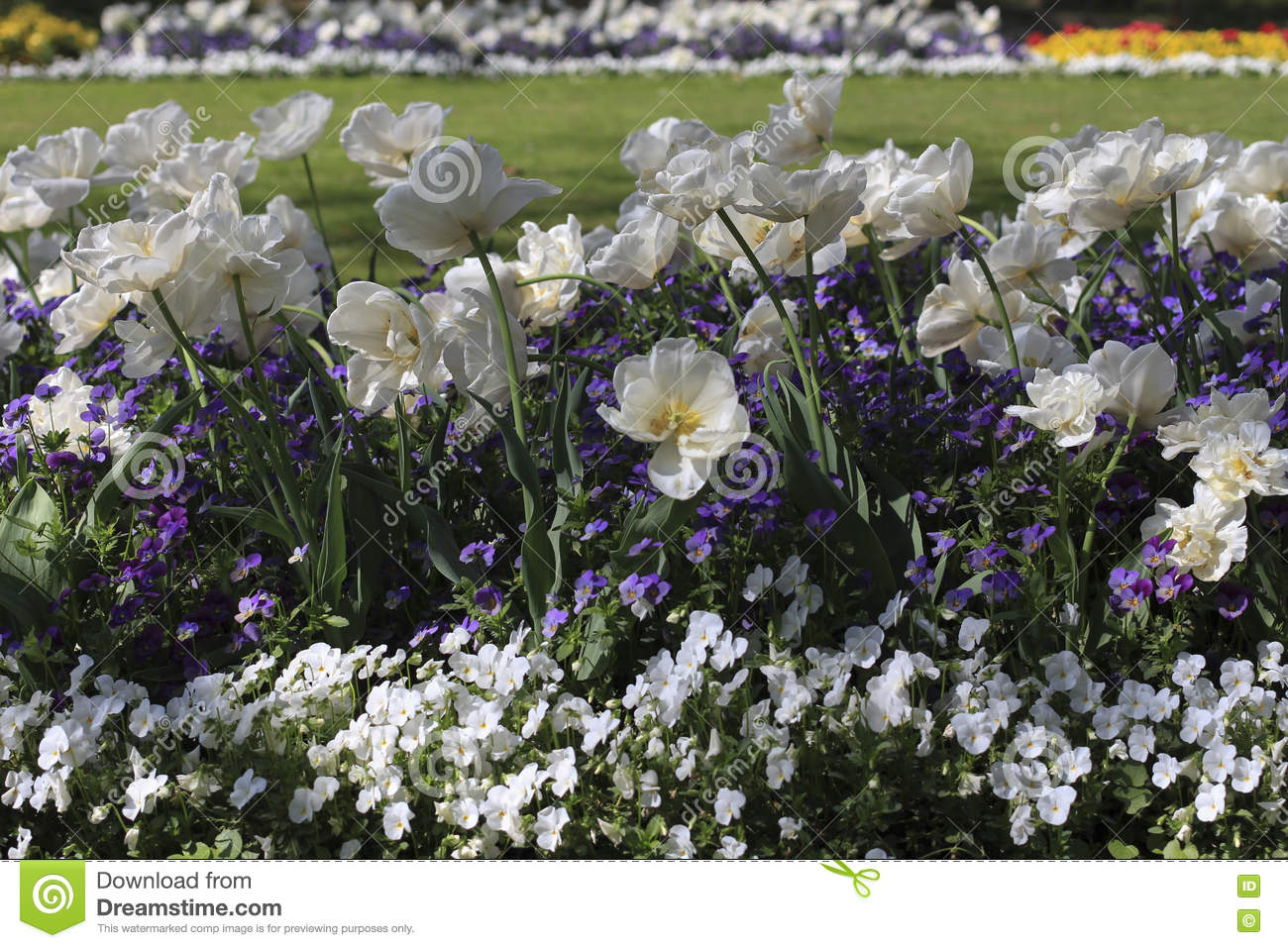 White tulips among blue and white pansies stock photo image of white tulips among blue and white pansies mightylinksfo