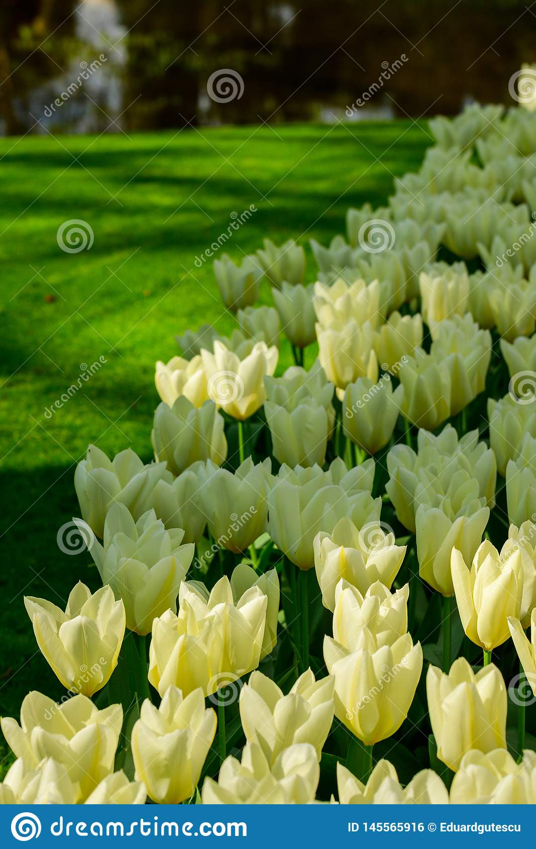 White tulips close up in Holland , spring time flowers in Keukenhof