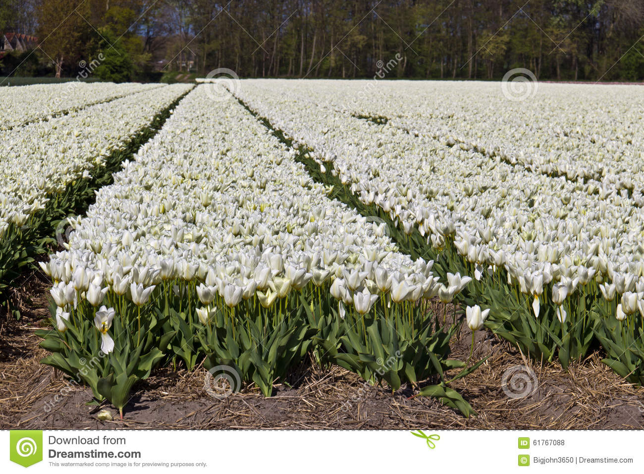 White Tulips Growing At Flower Farm Stock Photo Image Of