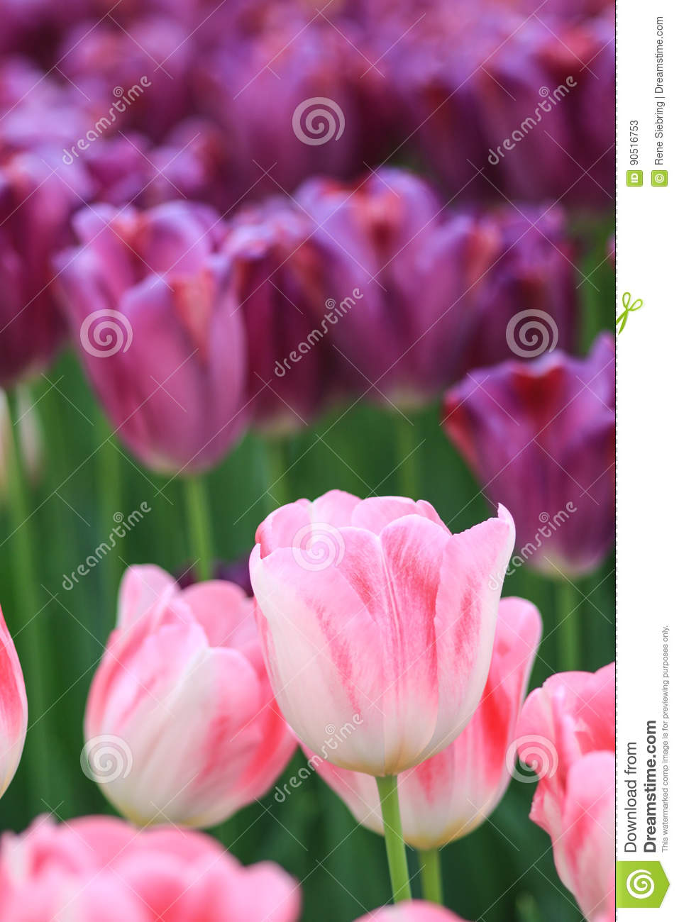 White Tulips With Pink Edges And Purple Tulips In The Background