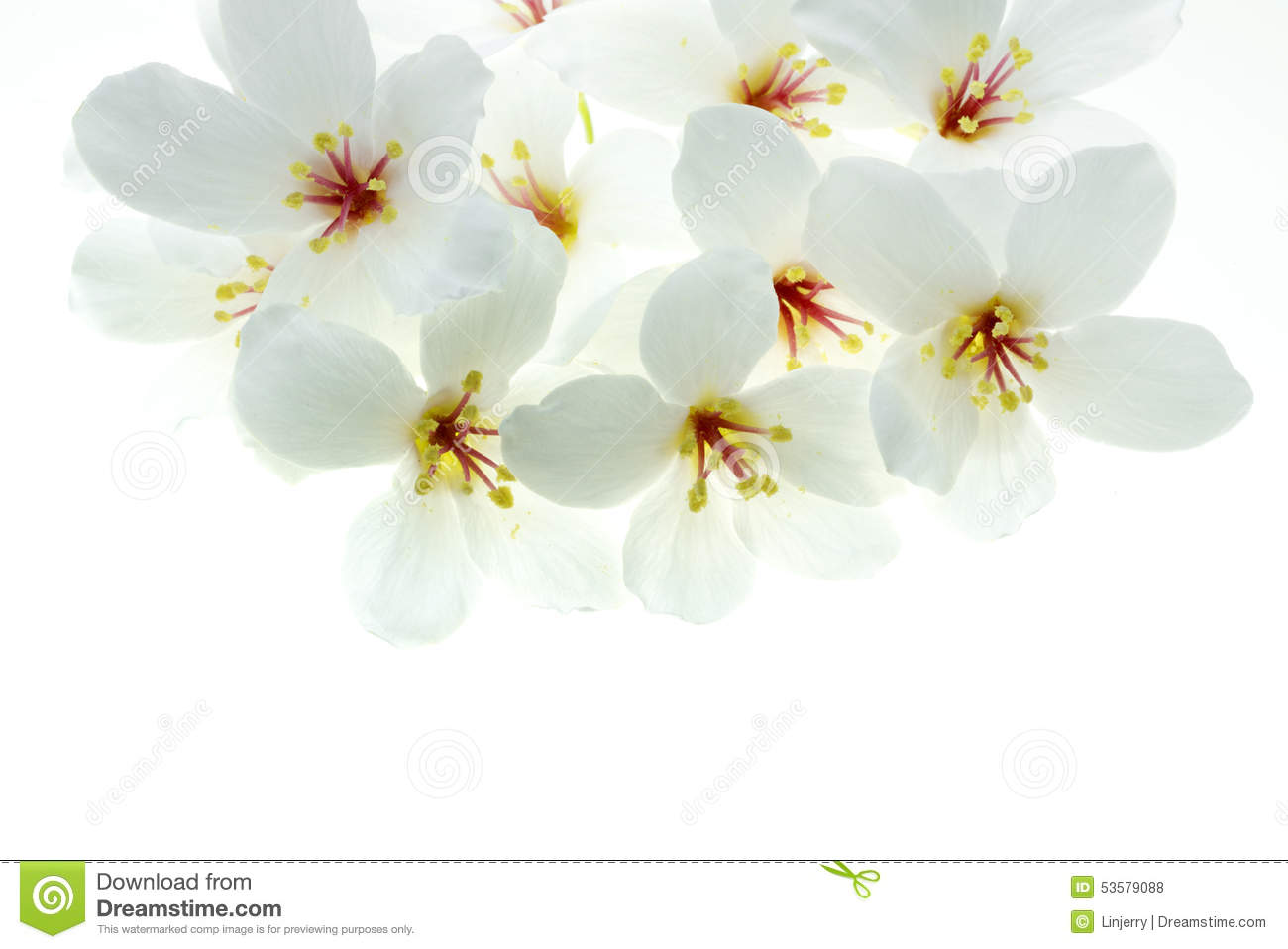 White Tung Oil Flowers Isolated White Stock Image