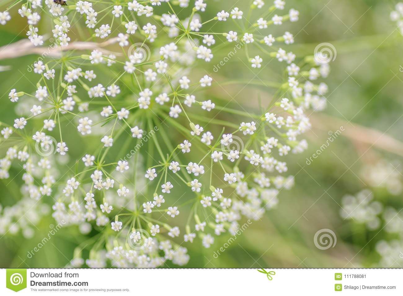White umbrella of the blossoming goutweed close up macro small download white umbrella of the blossoming goutweed close up macro small depth of mightylinksfo