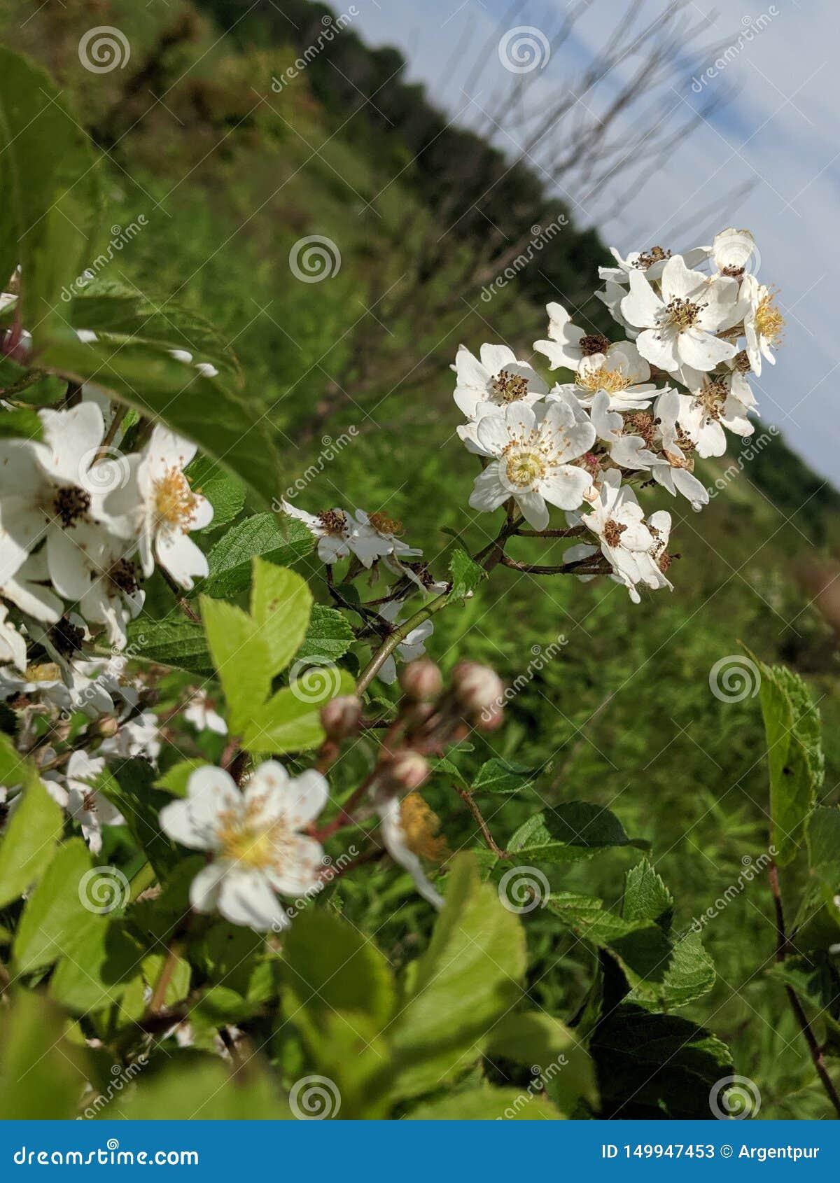 White valerian flower bunch in meadow