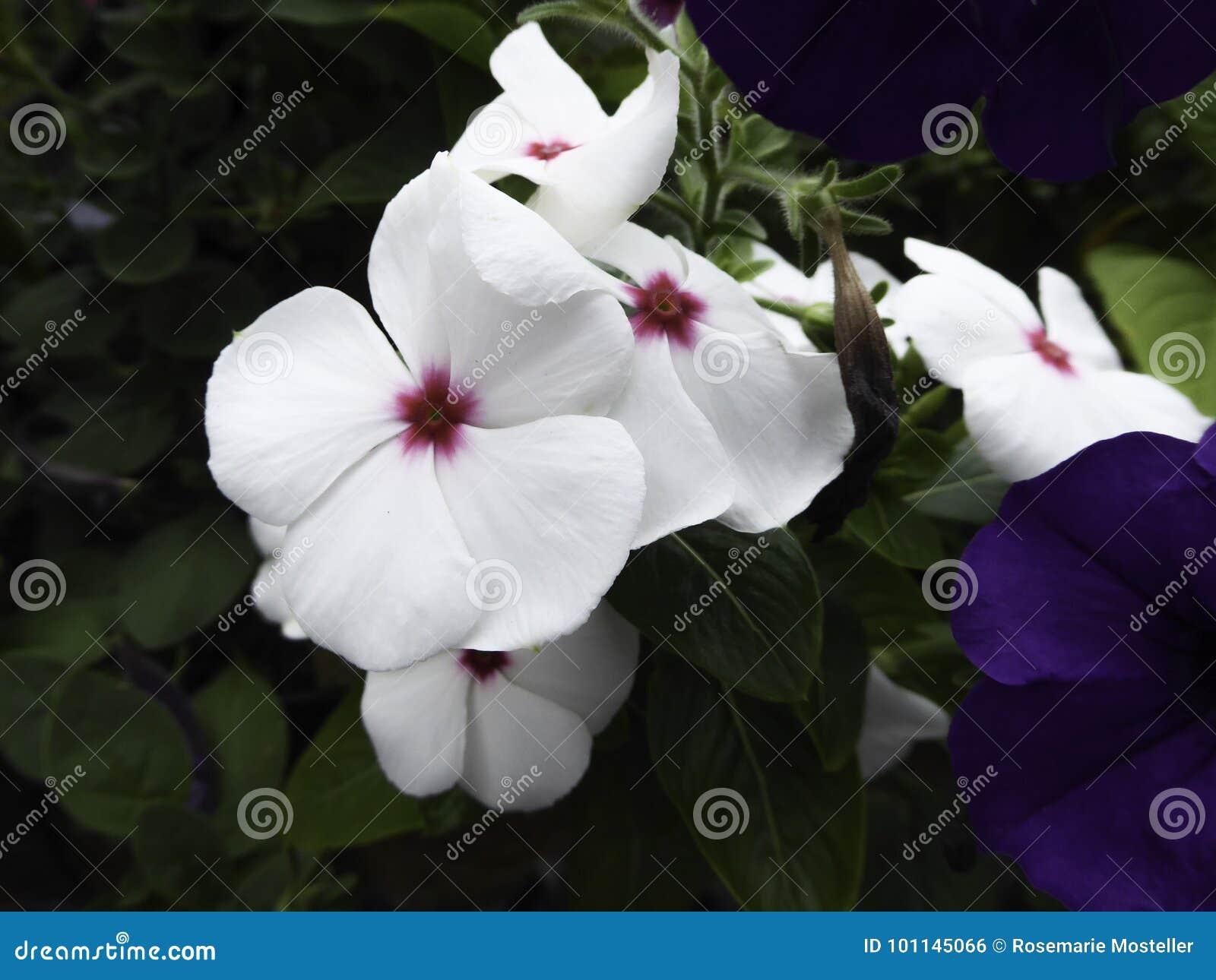 White Vinca Flower Stock Photo Image Of Summer Bright 101145066
