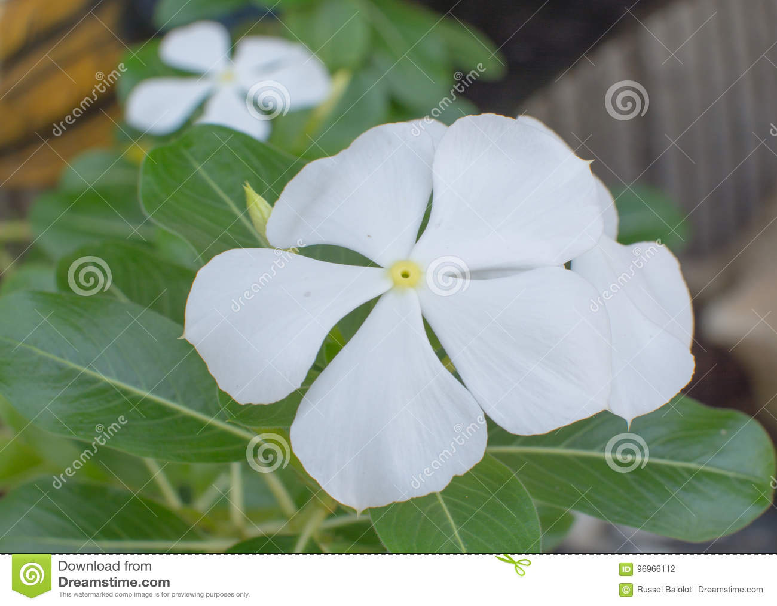 White Vinca Flower Stock Photo Image Of Flower White 96966112