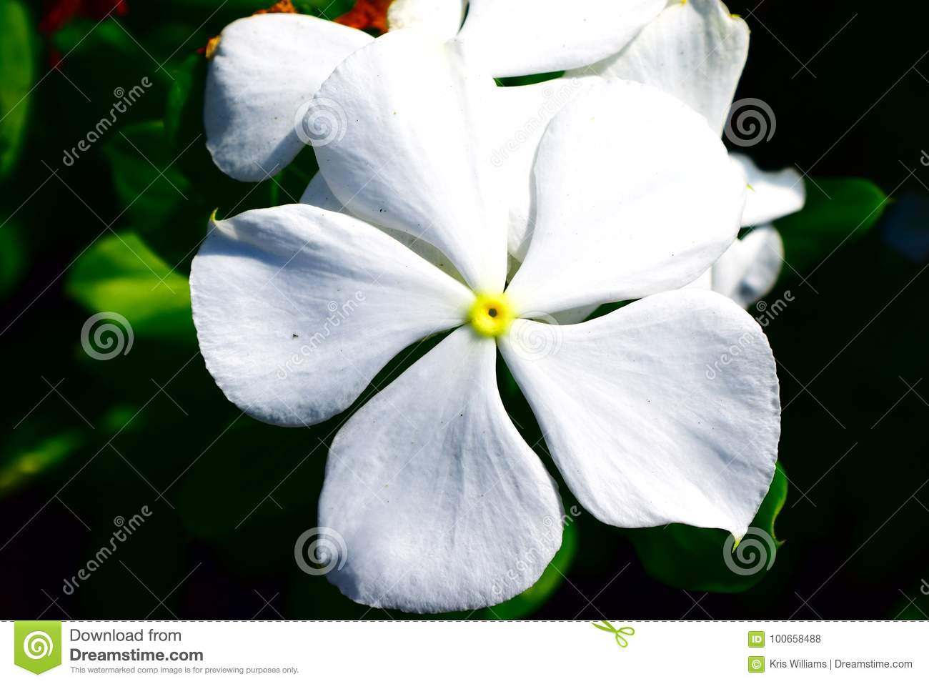 White Vinca 5 Petal Flower Stock Photo Image Of Large 100658488