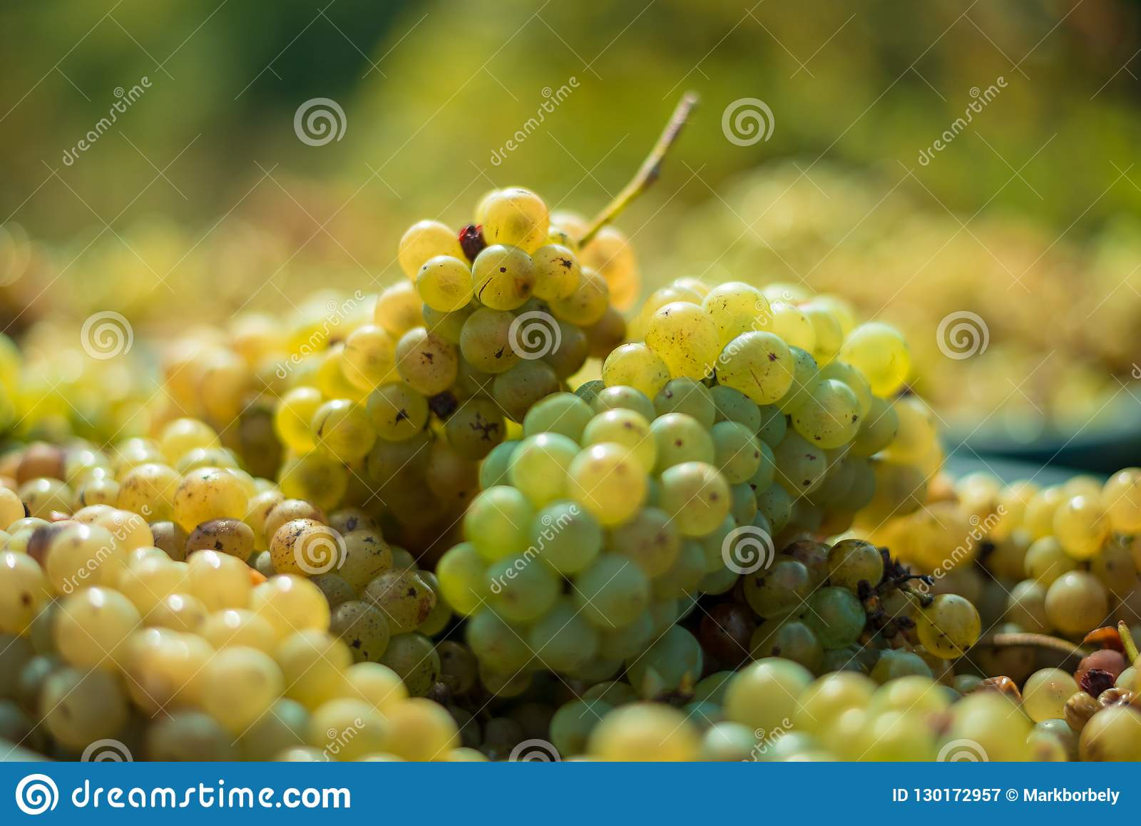 White vine grapes. Detailed view of a grape vines in a vineyard in autumn.