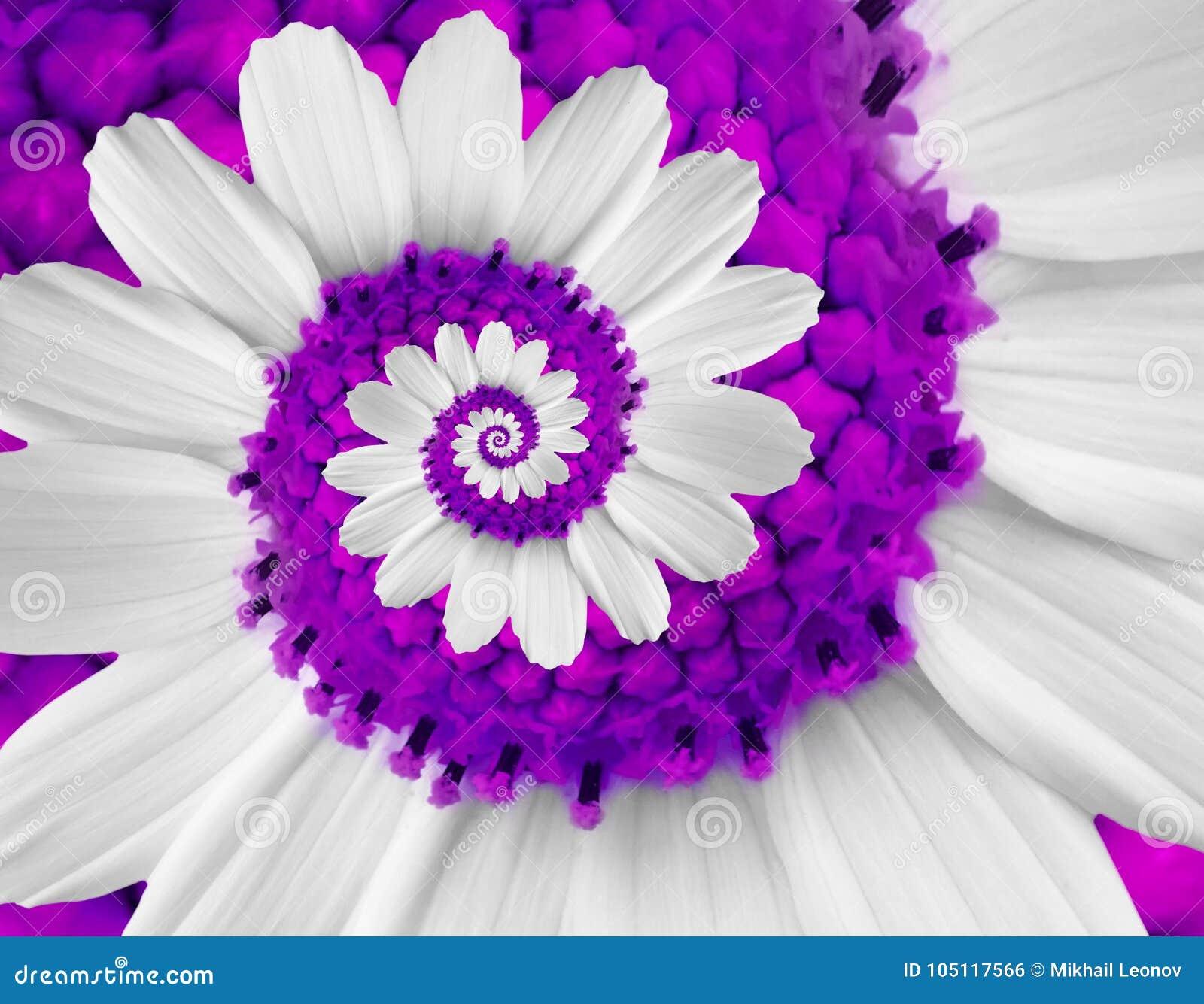Fractal Black Flower Free Stock Photo: White Violet Camomile Daisy Cosmos Kosmeya Flower Spiral