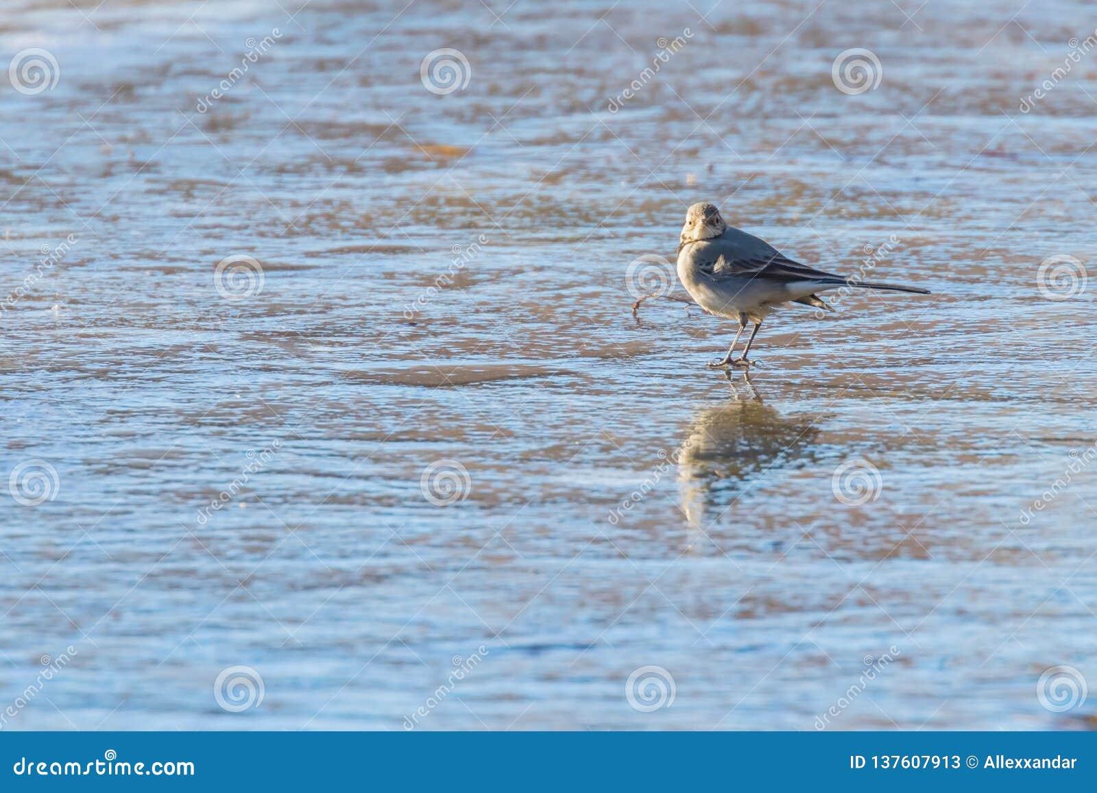 White Wagtail, Cute little bird Motacilla alba on ice, frozen pond winter