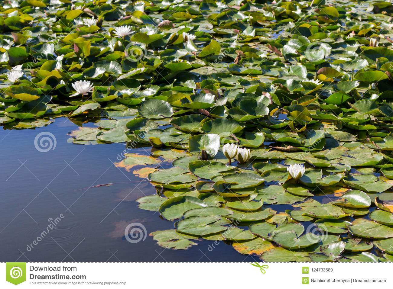White water lilies with green leaves in forest lake. NAture and purity concept. Summer forest and pond.