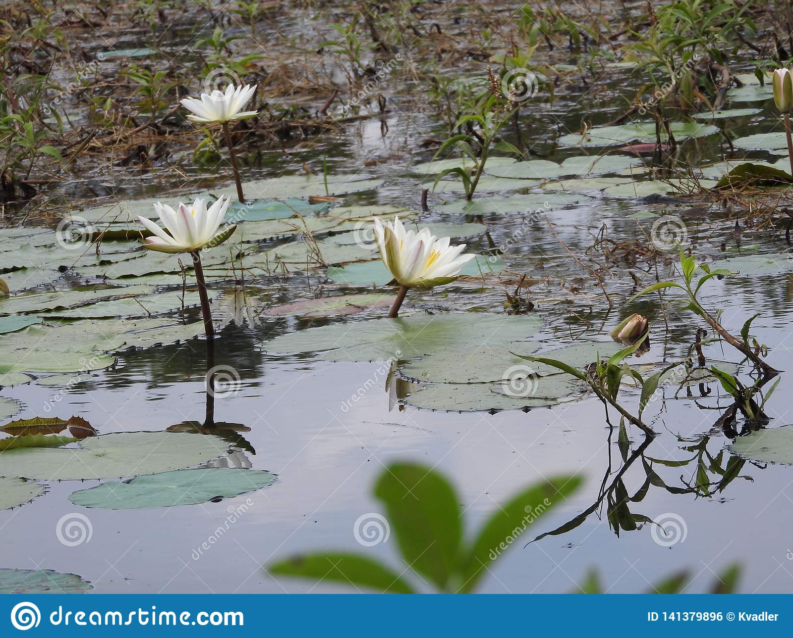 White water lilies, lake with green leaves