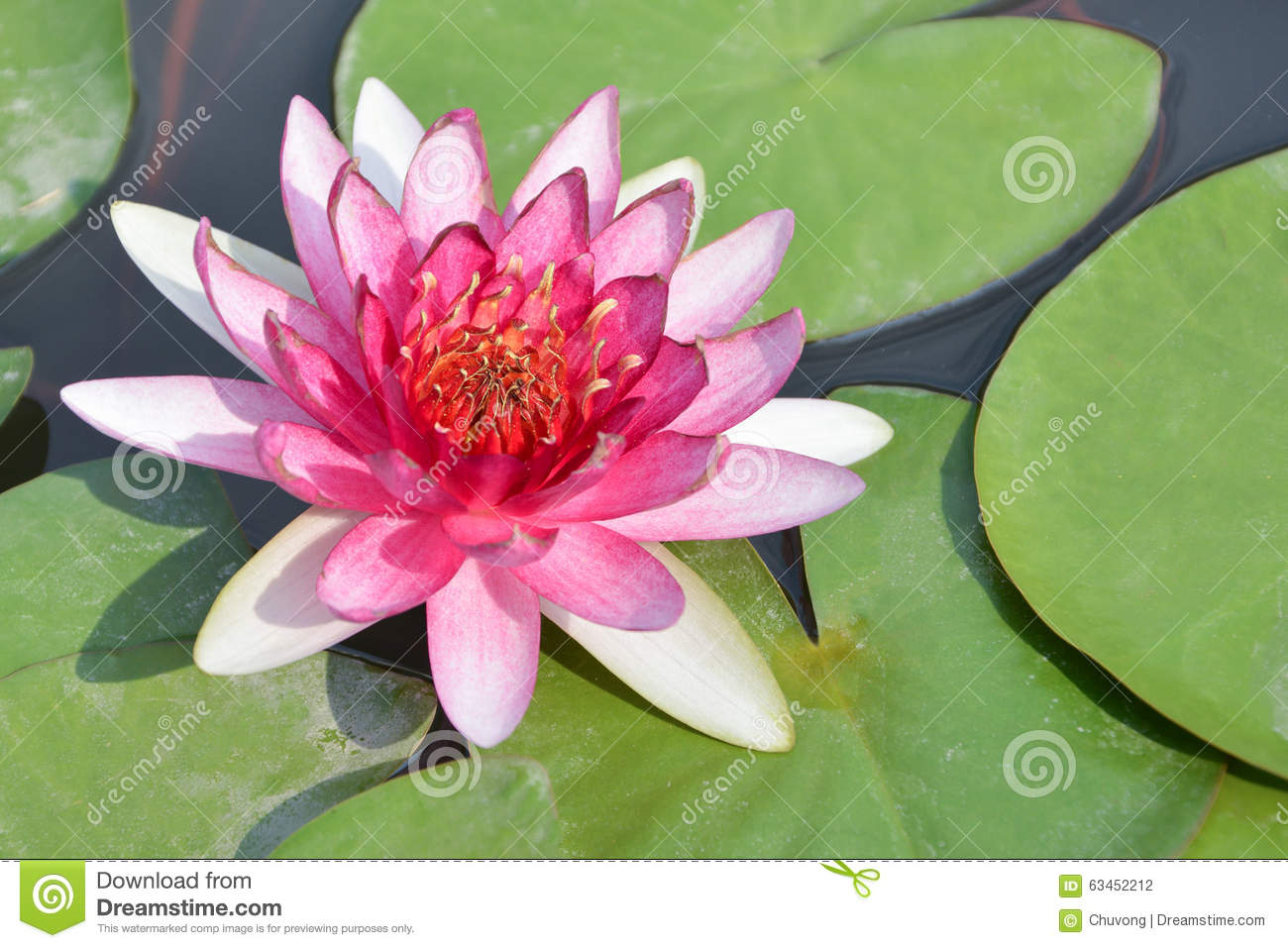 White Water Lily Stock Photo Image Of Calm Aquatic 63452212