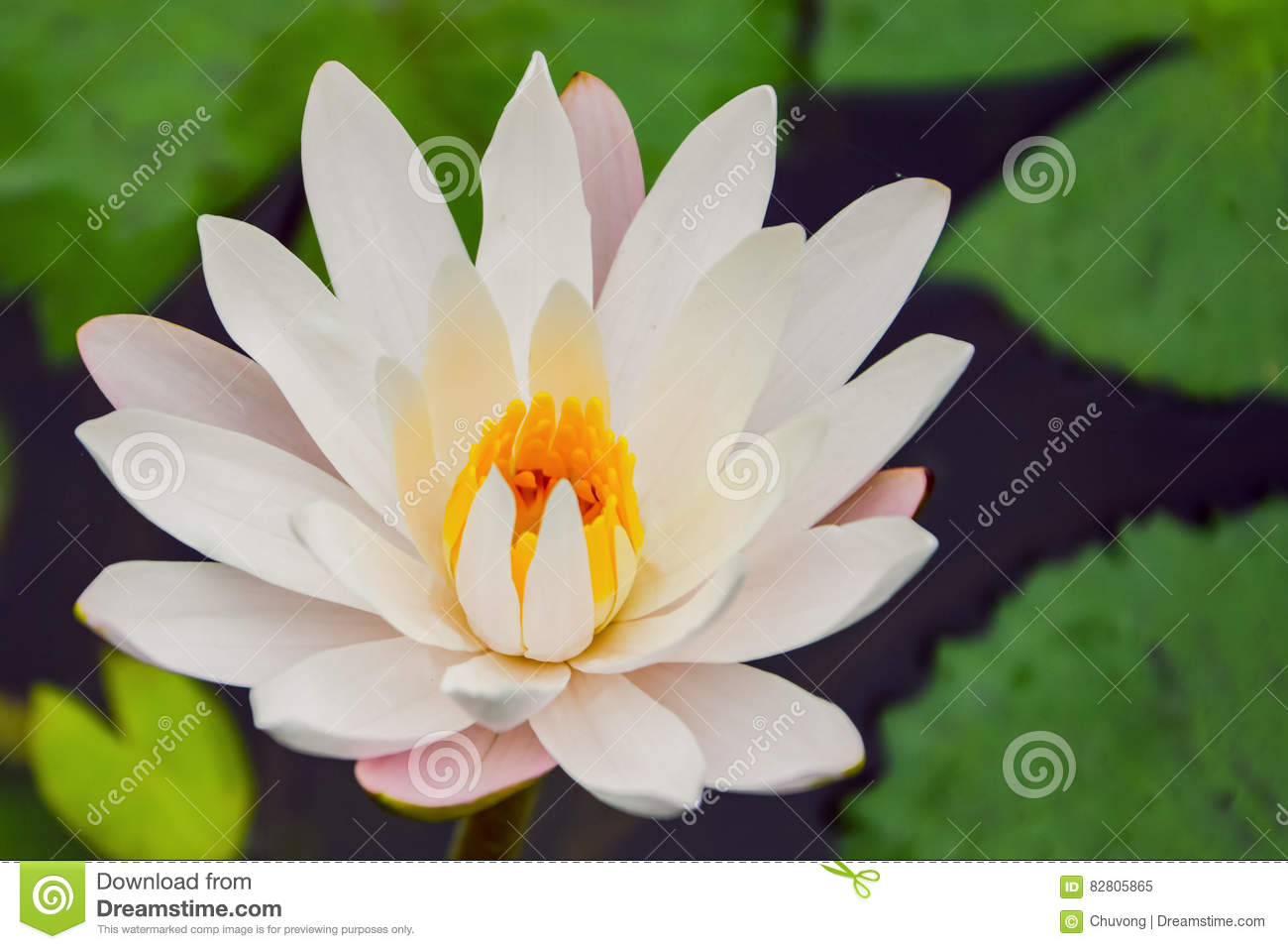White Water Lily Stock Image Image Of Bloom Light Float 82805865