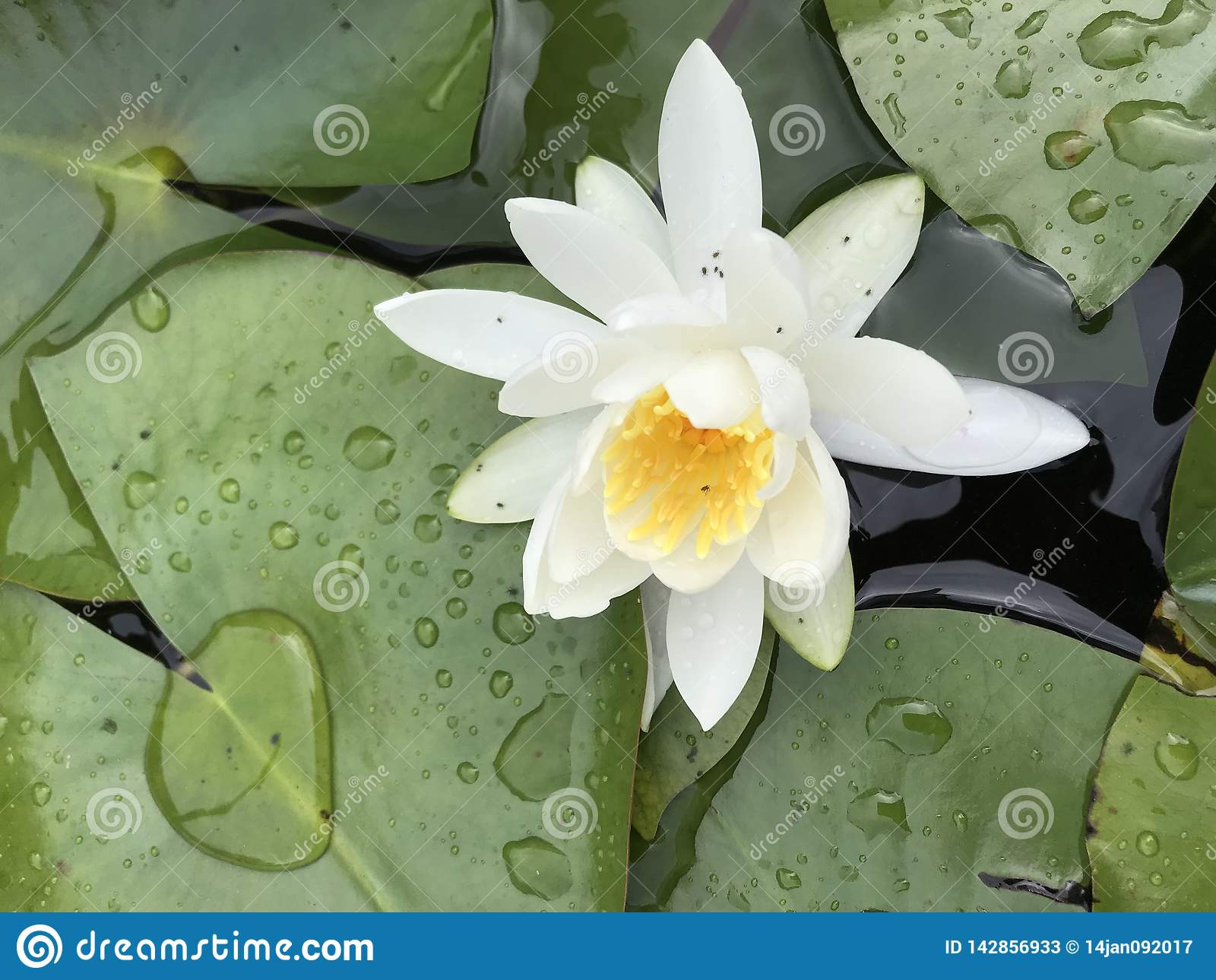 White Water Lily Lotus Flower With Leaves Stock Image Image Of