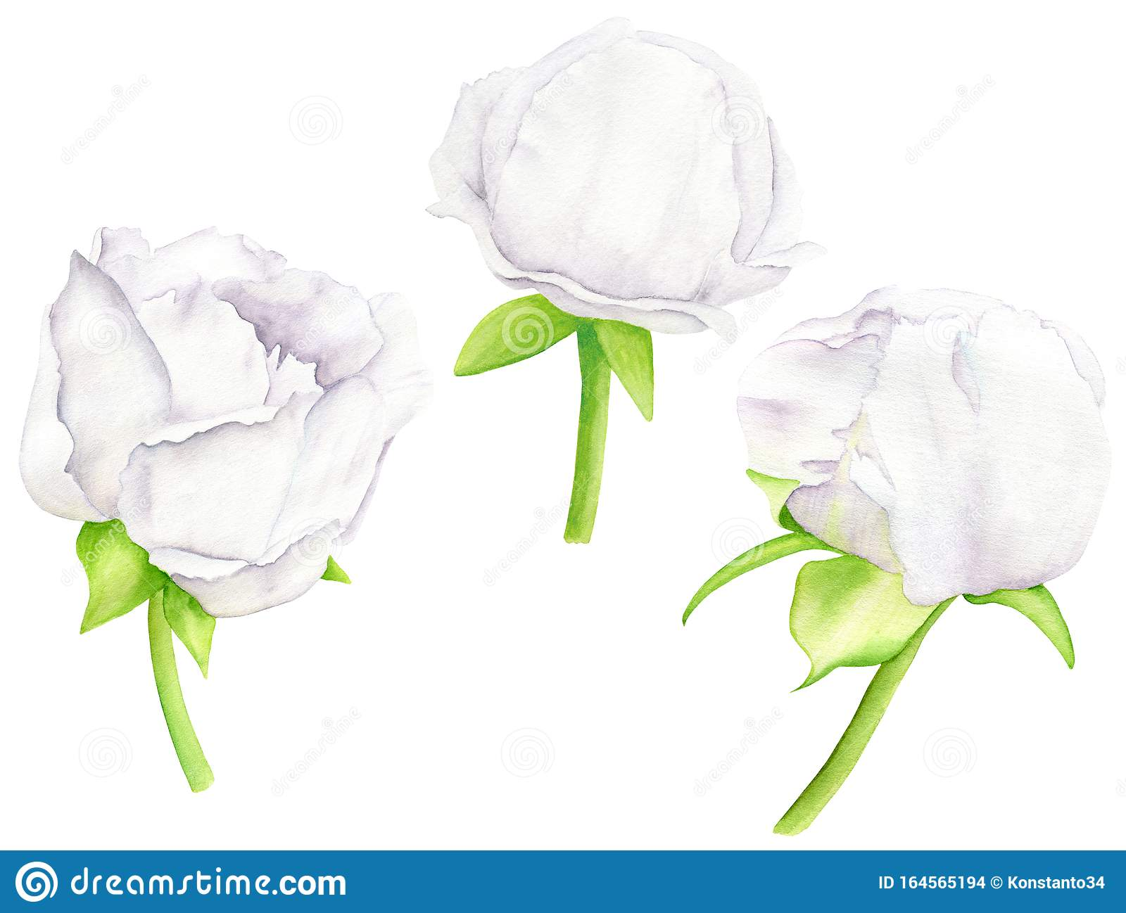 White watercolor Peony flower and buds set. Hand drawn floral illustration isolated on white background. Clipart