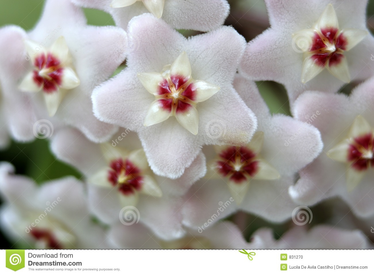 White Wax Flower Detail Stock Photo Image Of Greenery 831270