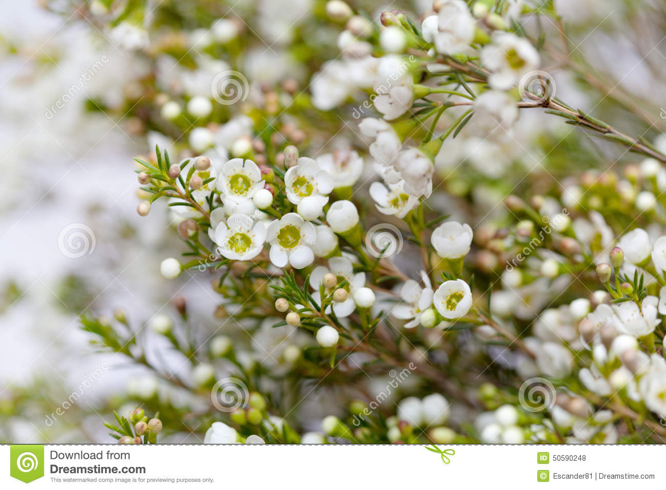 White Wax Flower Detail Stock Images Download 399 Royalty Free Photos
