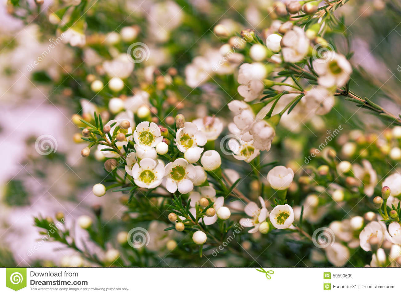 White Wax Flower In Natural Background Stock Image Image Of