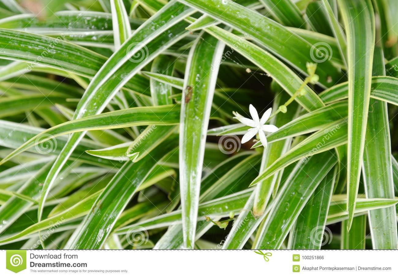 White Weed Flower Blooming Among Dracaena Plant Clump Stock Photo
