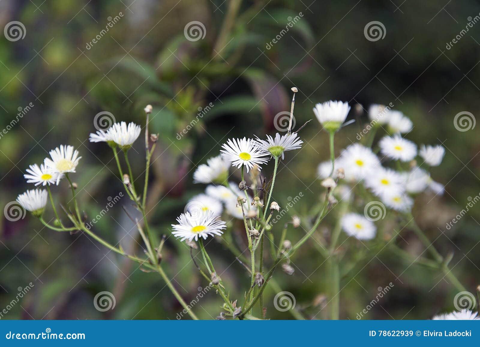 White weeds stock image image of more berrys market 78622939 white weeds mightylinksfo