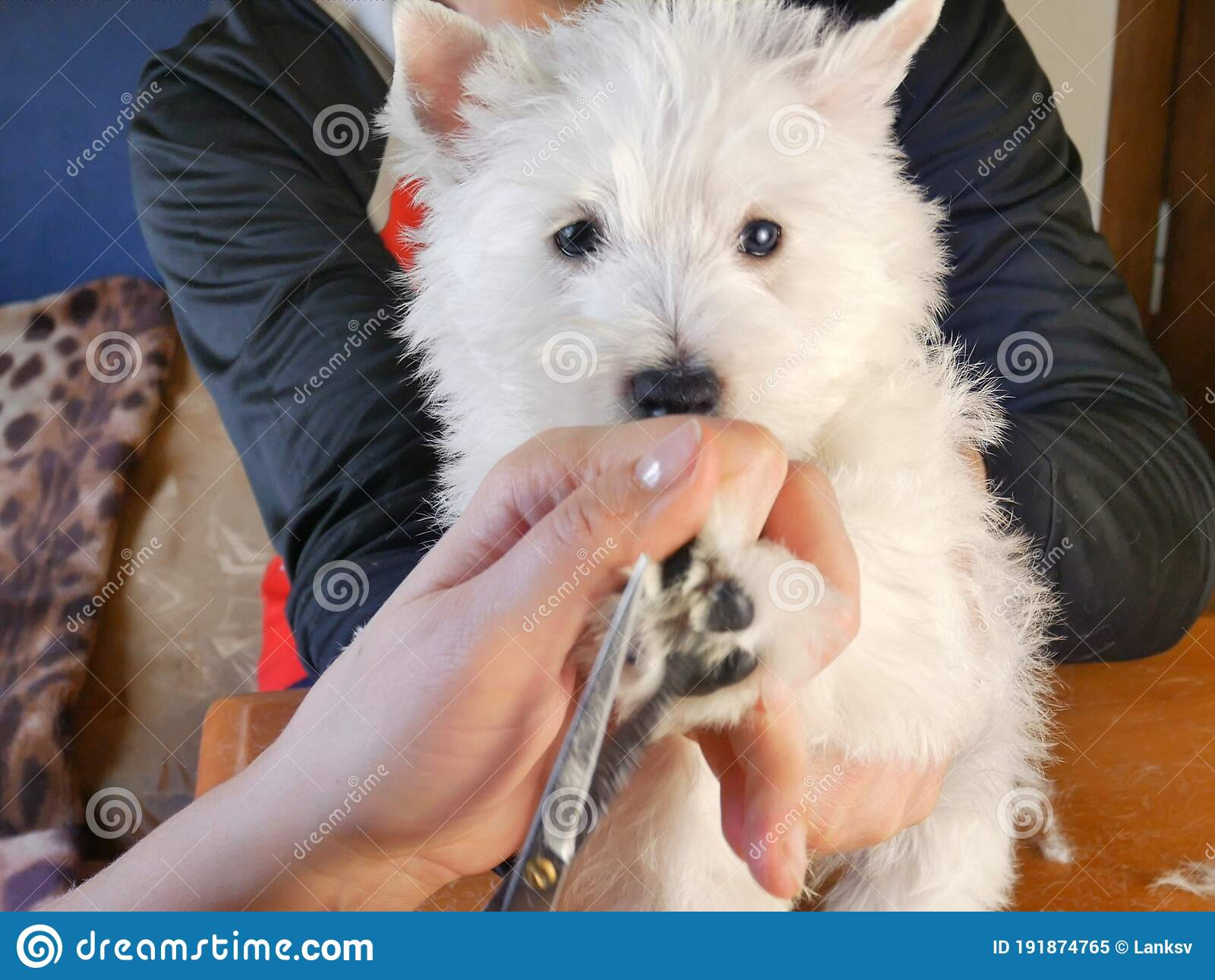 White West Highland Terrier Dog Haircut Stock Image Image Of Beauty Cute 191874765