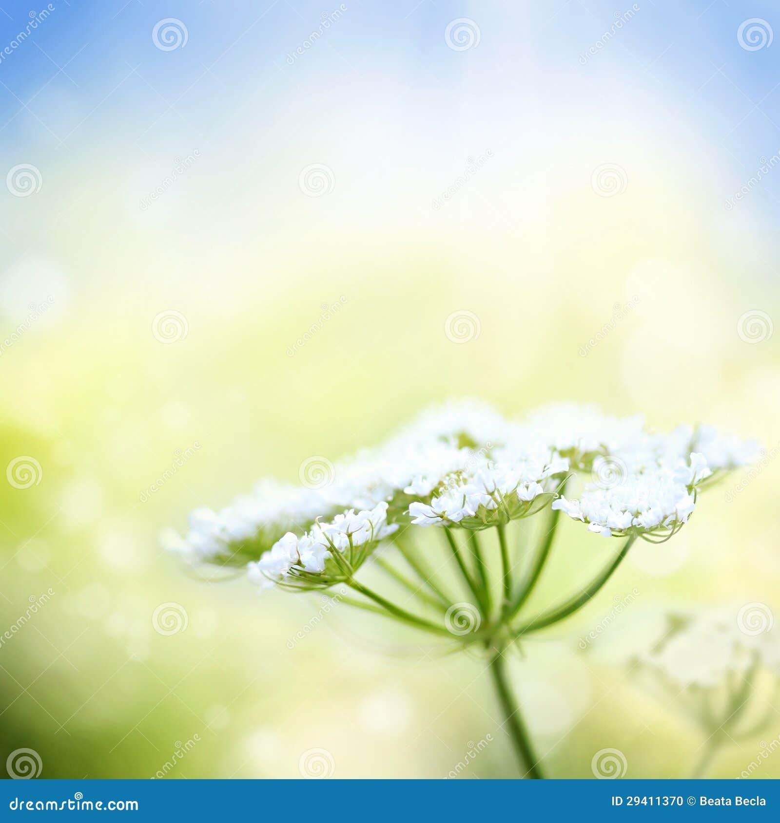 White wild carrot flower on spring background