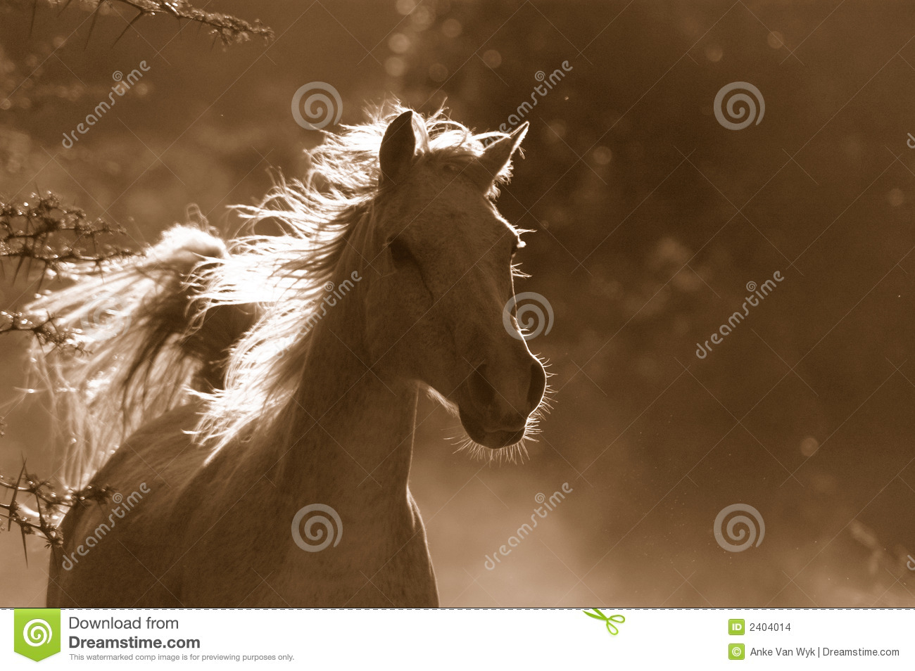 986 Stallion Arabian White Horse Running Wild Photos Free Royalty Free Stock Photos From Dreamstime