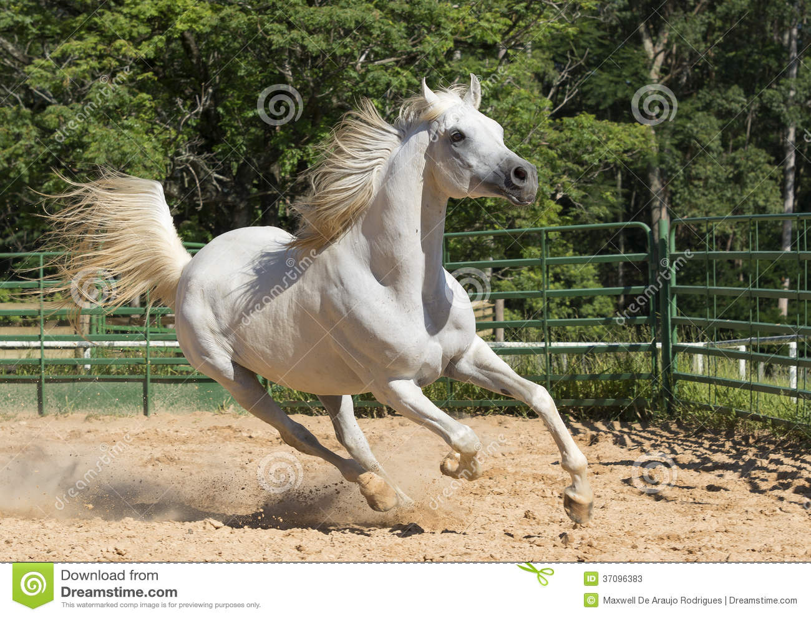 White Wild Horse Stock Photos - Image: 37096383