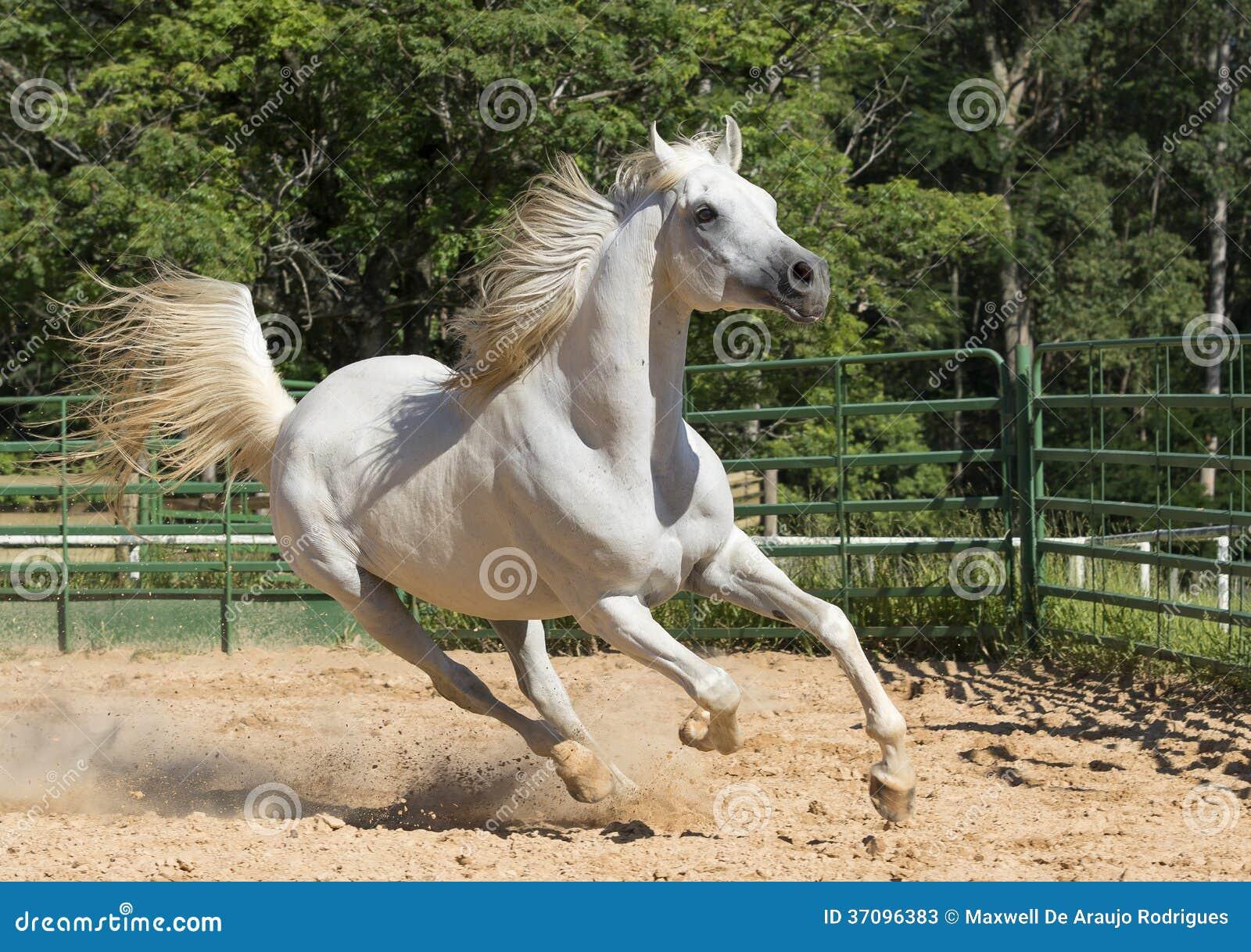 White Wild Horse Stock Image Image Of Expression Champion 37096383