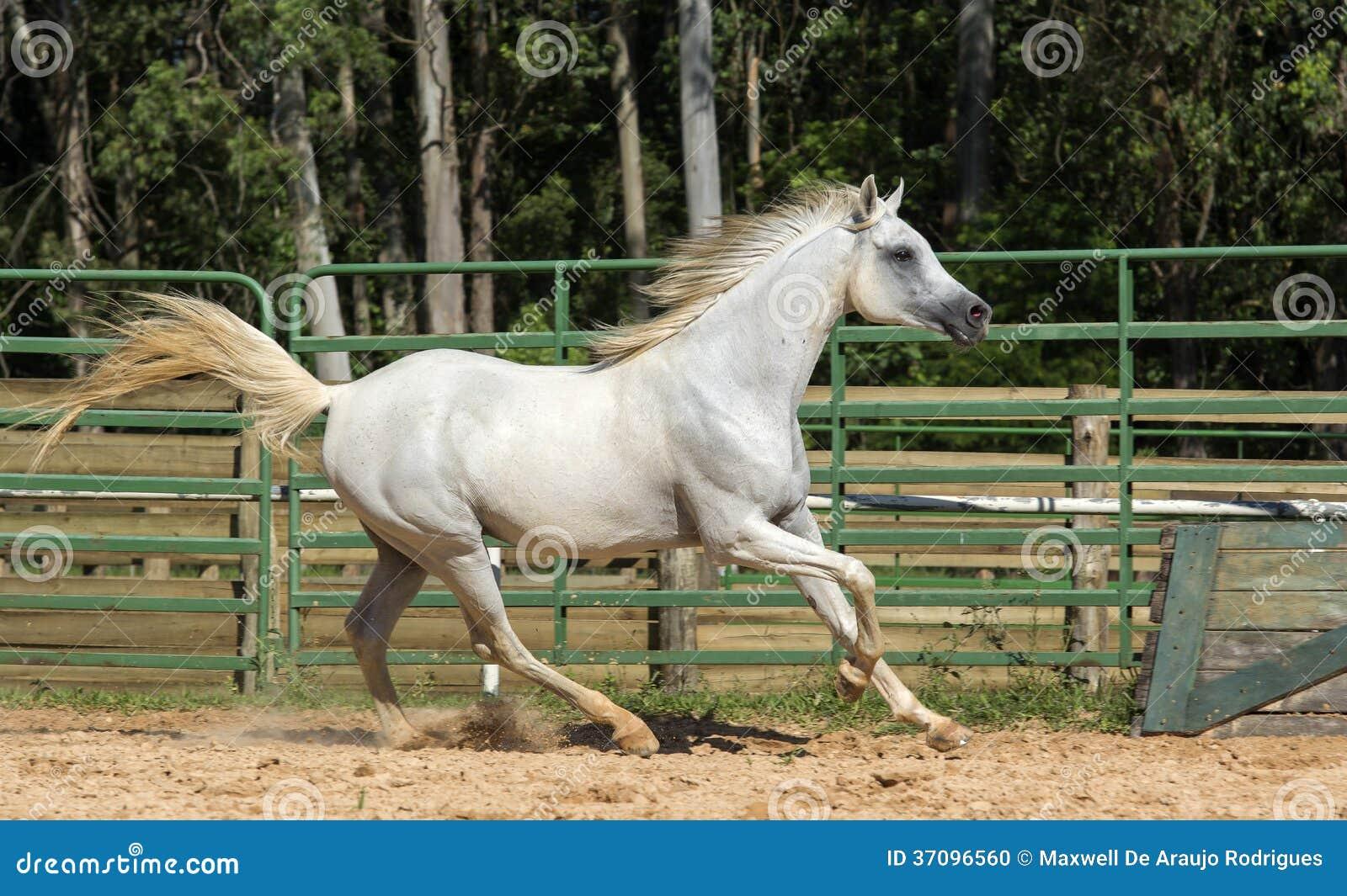 White Wild Horse Stock Photo Image Of Fields Dusty 37096560