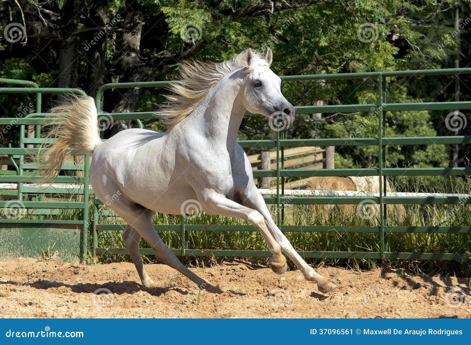 White Wild Horse Stock Image - Image: 37096561