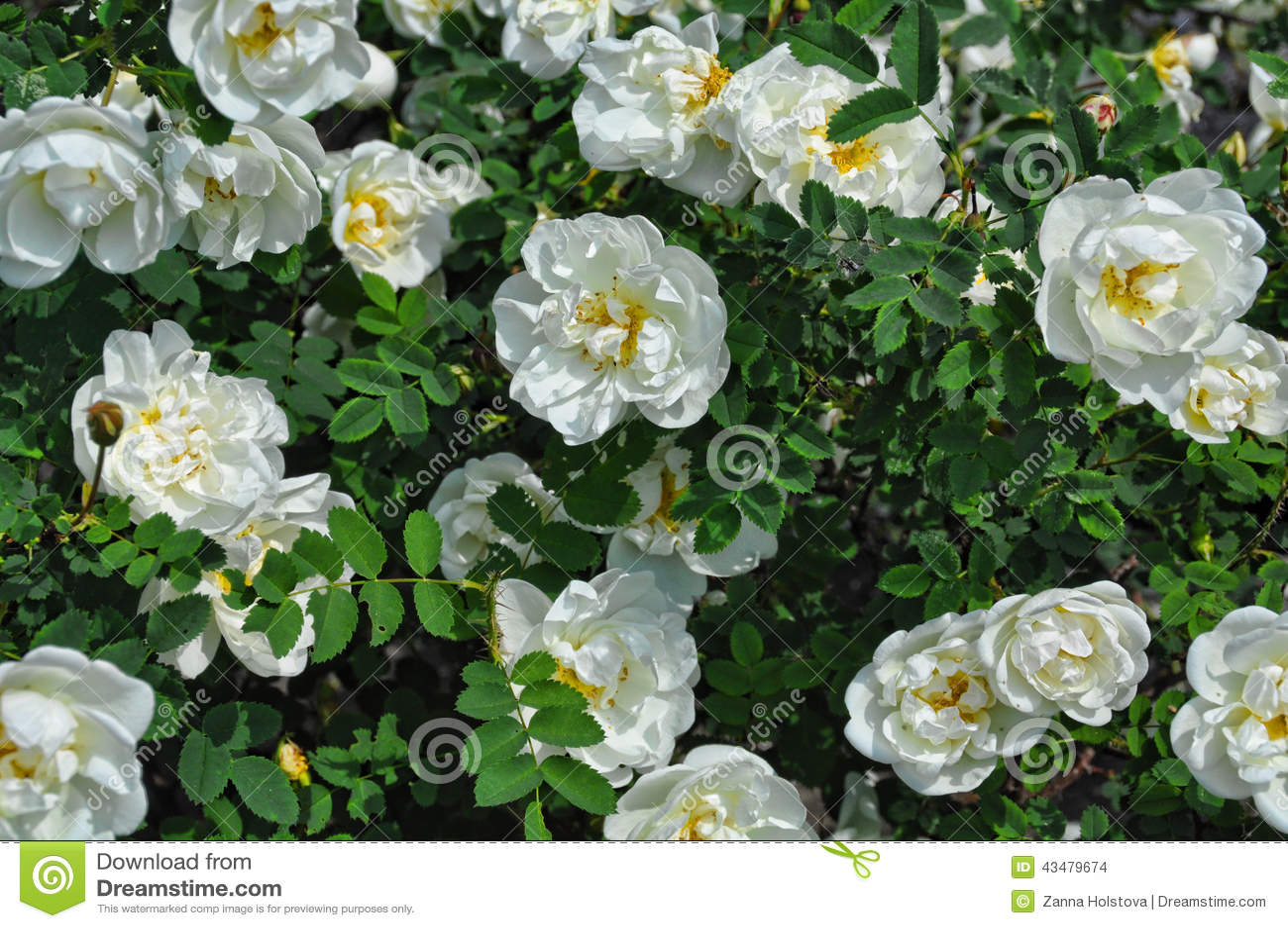 White Garden Rose Bush white wild rose bush stock photo - image: 43479674