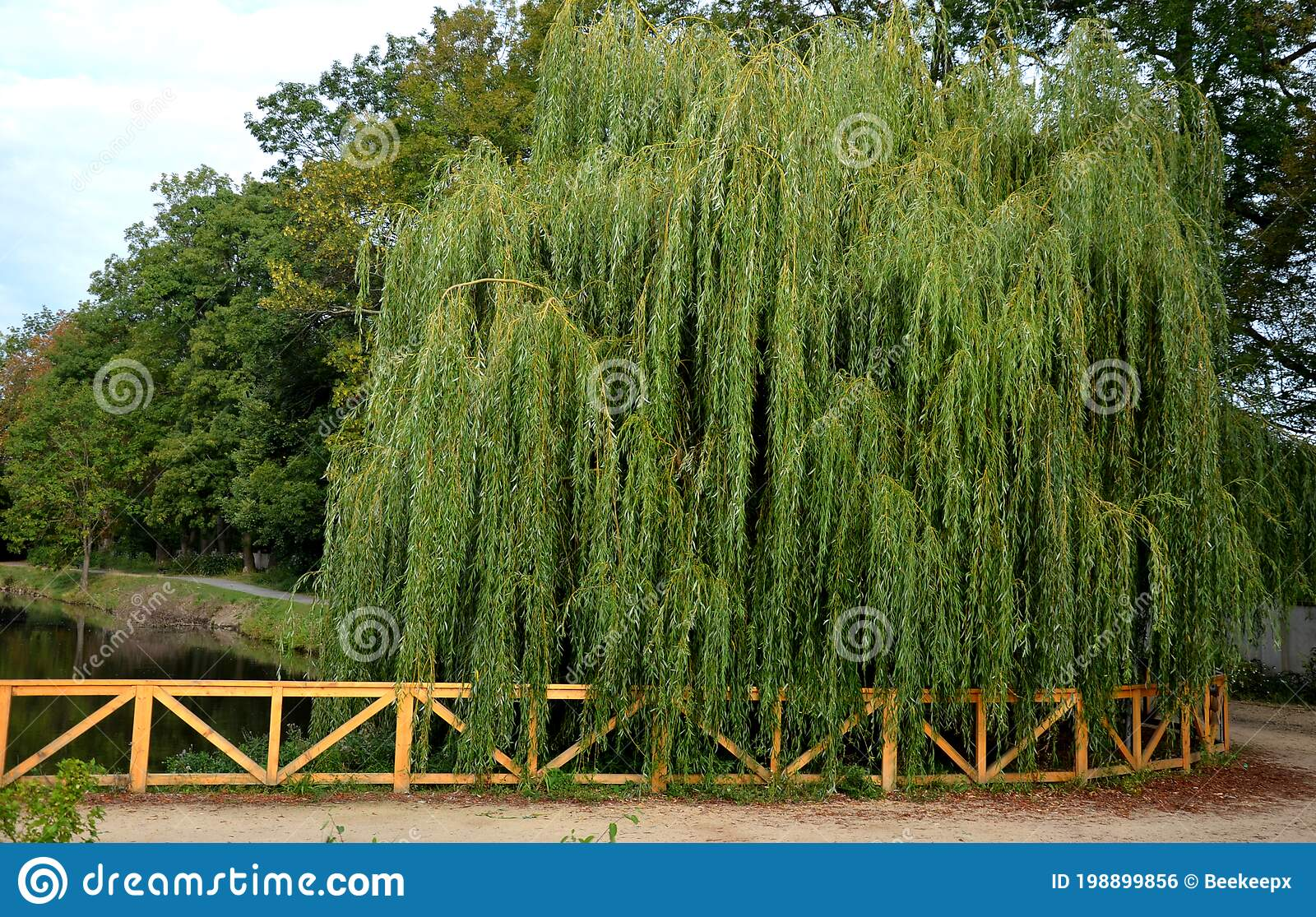 White Willow Is Usually A Massive Fast Growing Tree It Is Also Planted As An Ornamental Tree It Has Overhanging Branches Down T Stock Photo Image Of Garden Ornamental 198899856