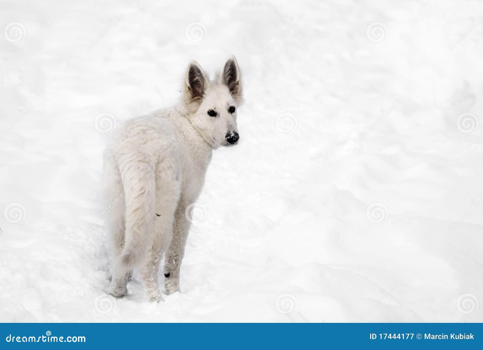 White wolf running in snow