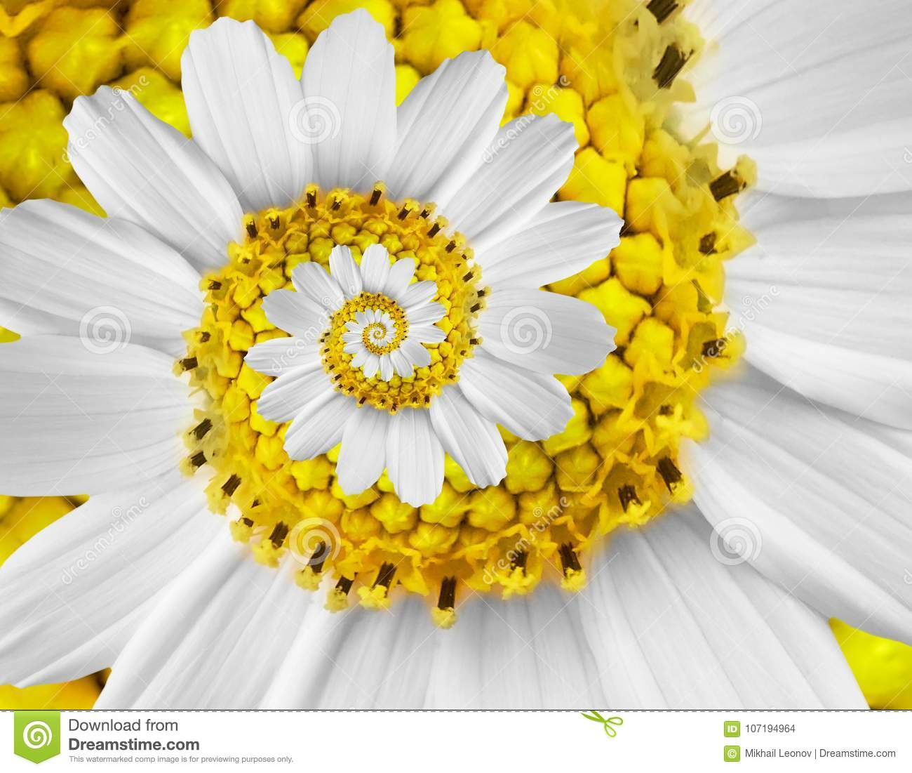 White yellow camomile daisy cosmos kosmeya flower spiral abstract fractal effect pattern background White flower spiral abstract