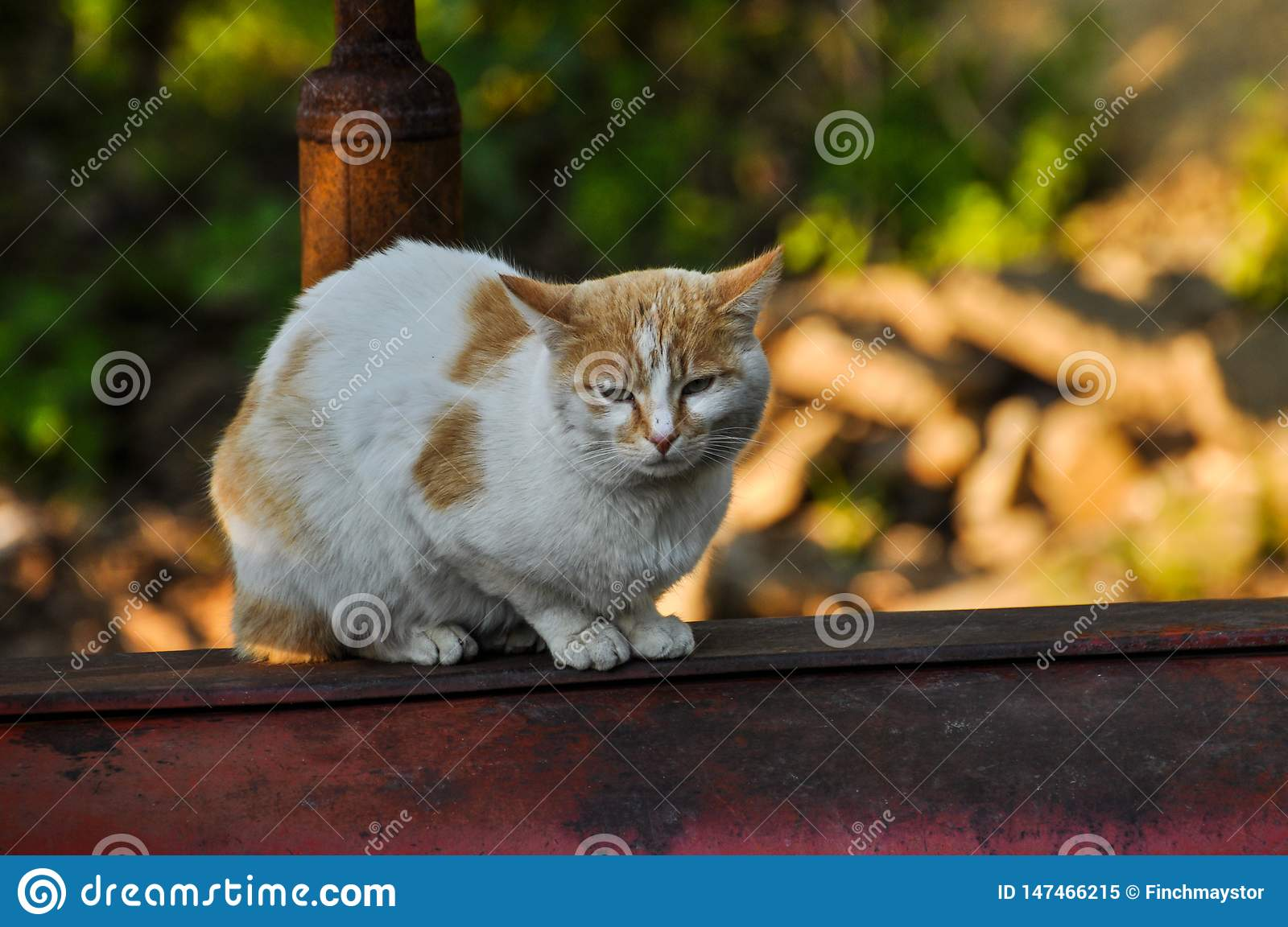 White yellow cat sits on a red tractor in nature.Domestic animal.Outdoor