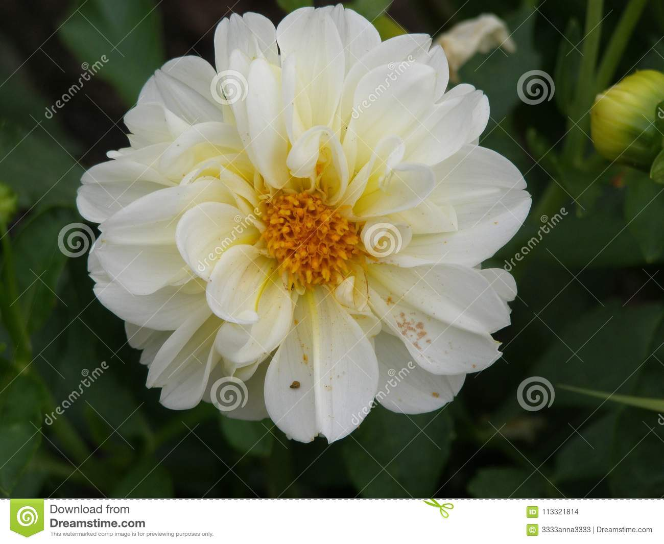 White With A Yellow Center Dahlia Is A Flower Famous For Dazzling
