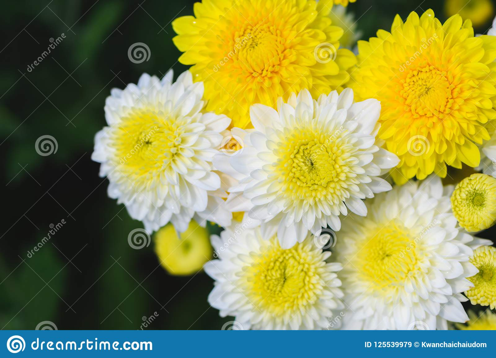 White And Yellow Chrysanthemum Flower In Garden Stock Image Image