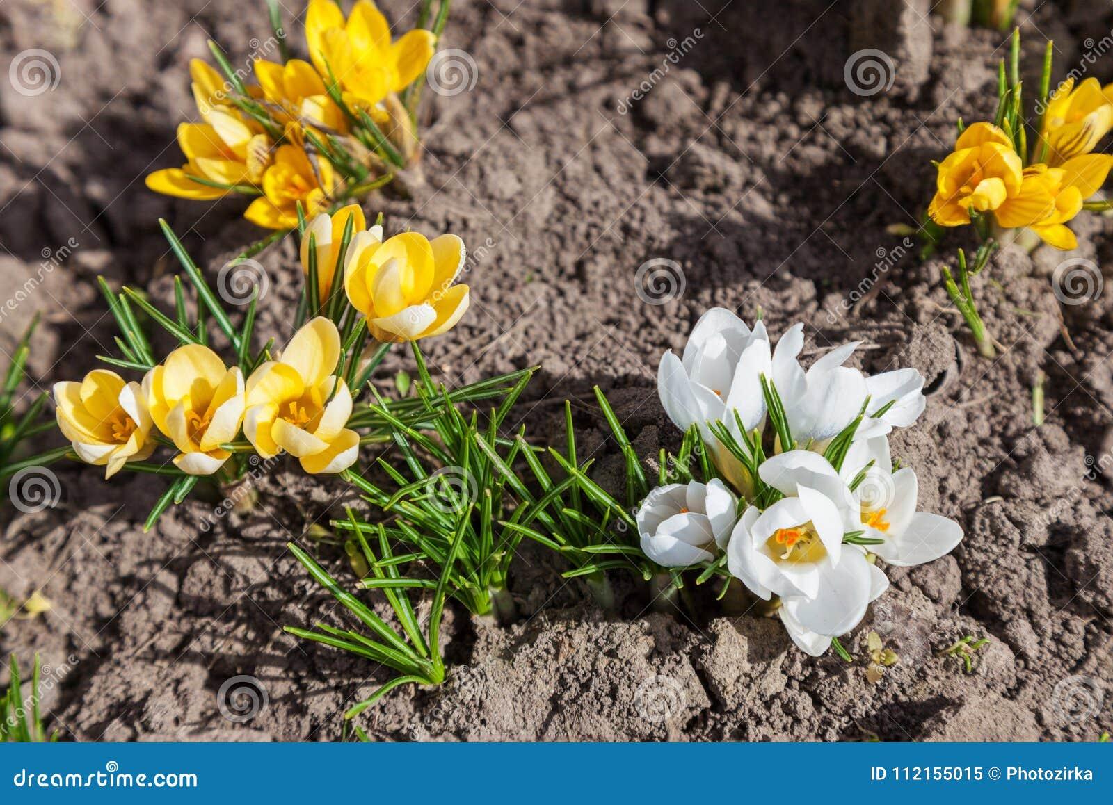 White And Yellow Crocus Flower Stock Image Image Of Flora Crocus