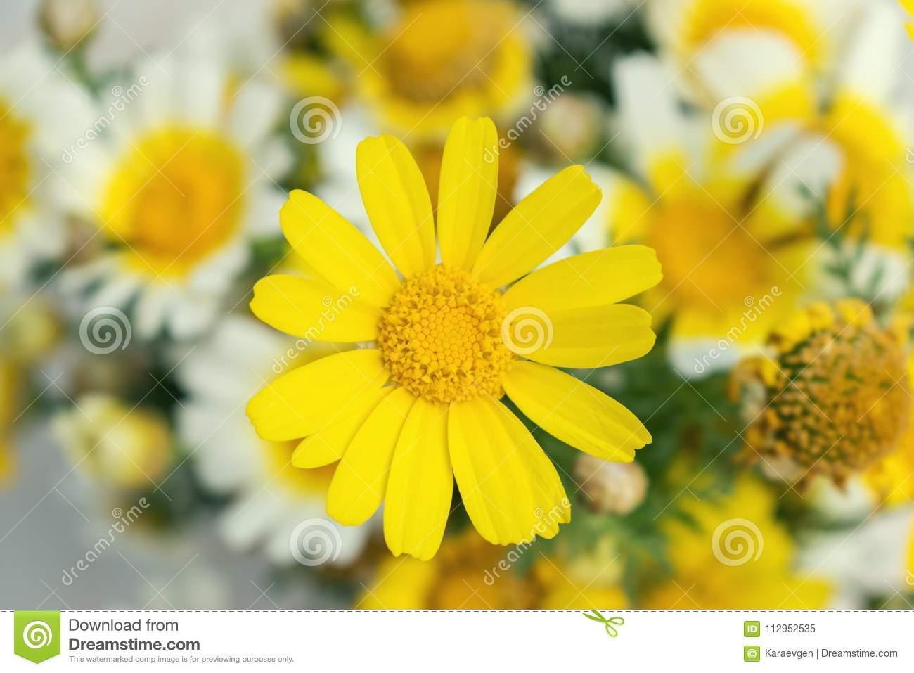 White And Yellow Daisies Flowers In Bright Sun Light Stock Image