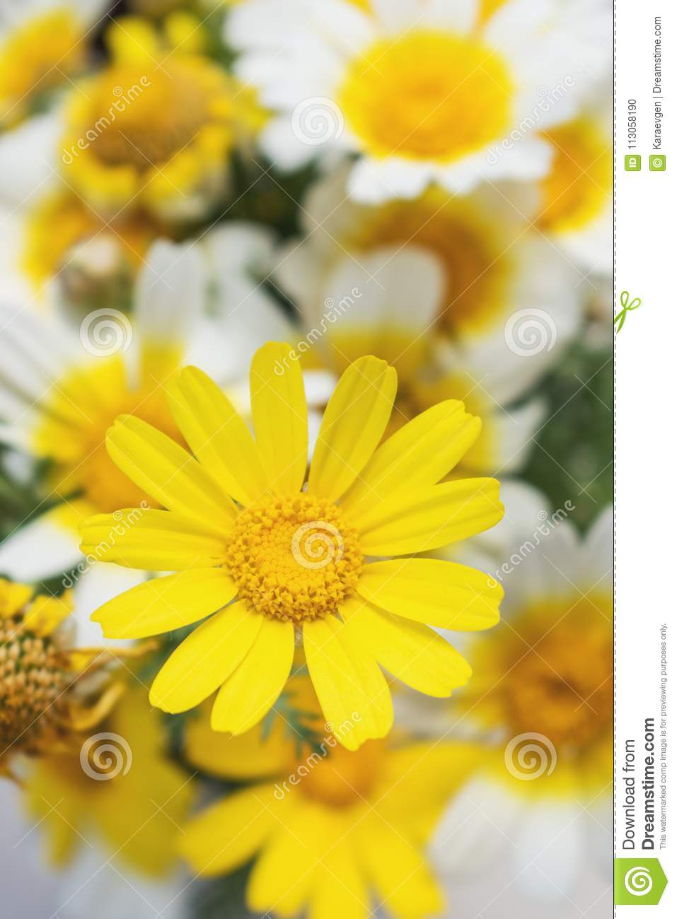 White And Yellow Daisies Flowers In Sun Light Stock Photo Image