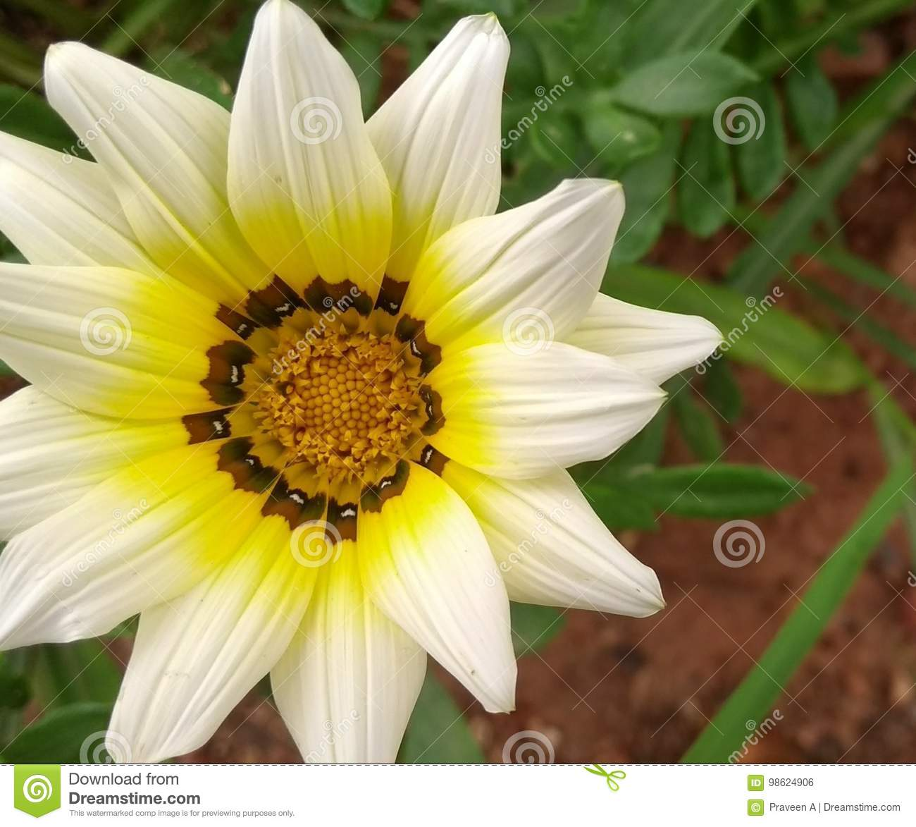 White And Yellow Flower Stock Photo Image Of Flower 98624906